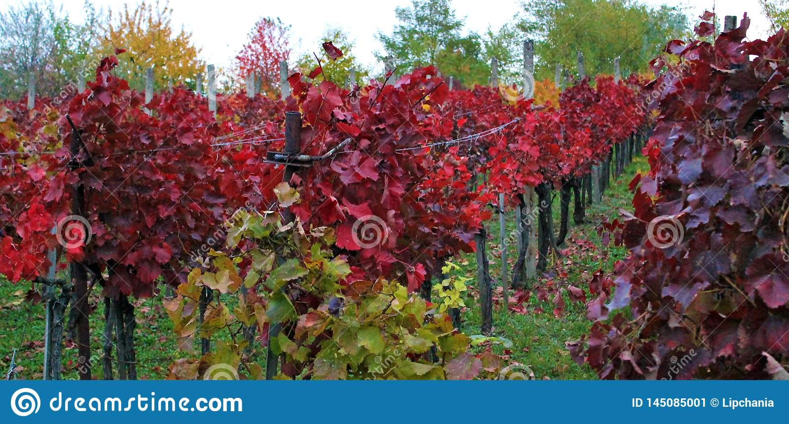 Red vineyards of Eger, Hungary