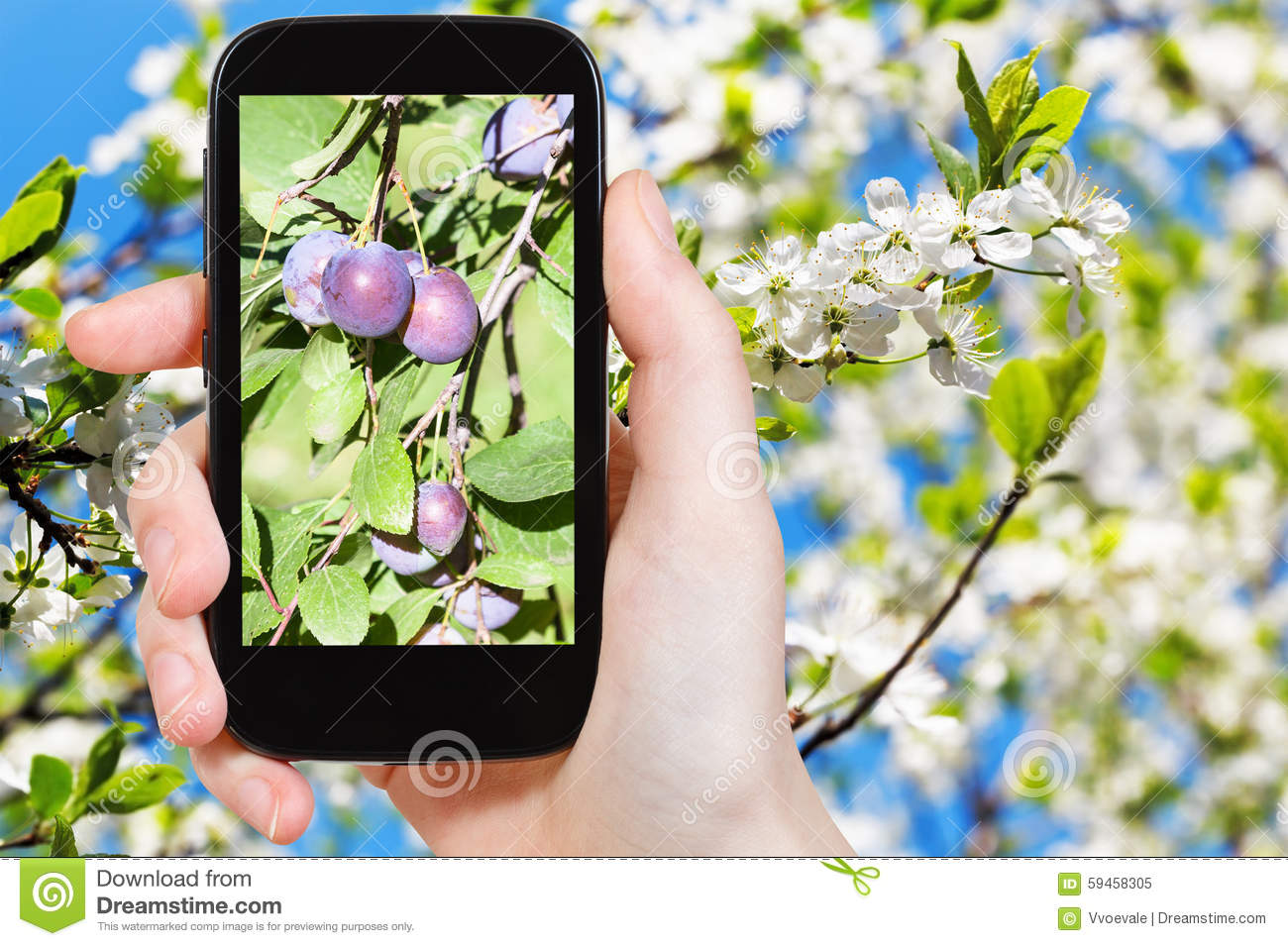 Photo Of Ripe Plums On Tree With Blossoms Stock Photo