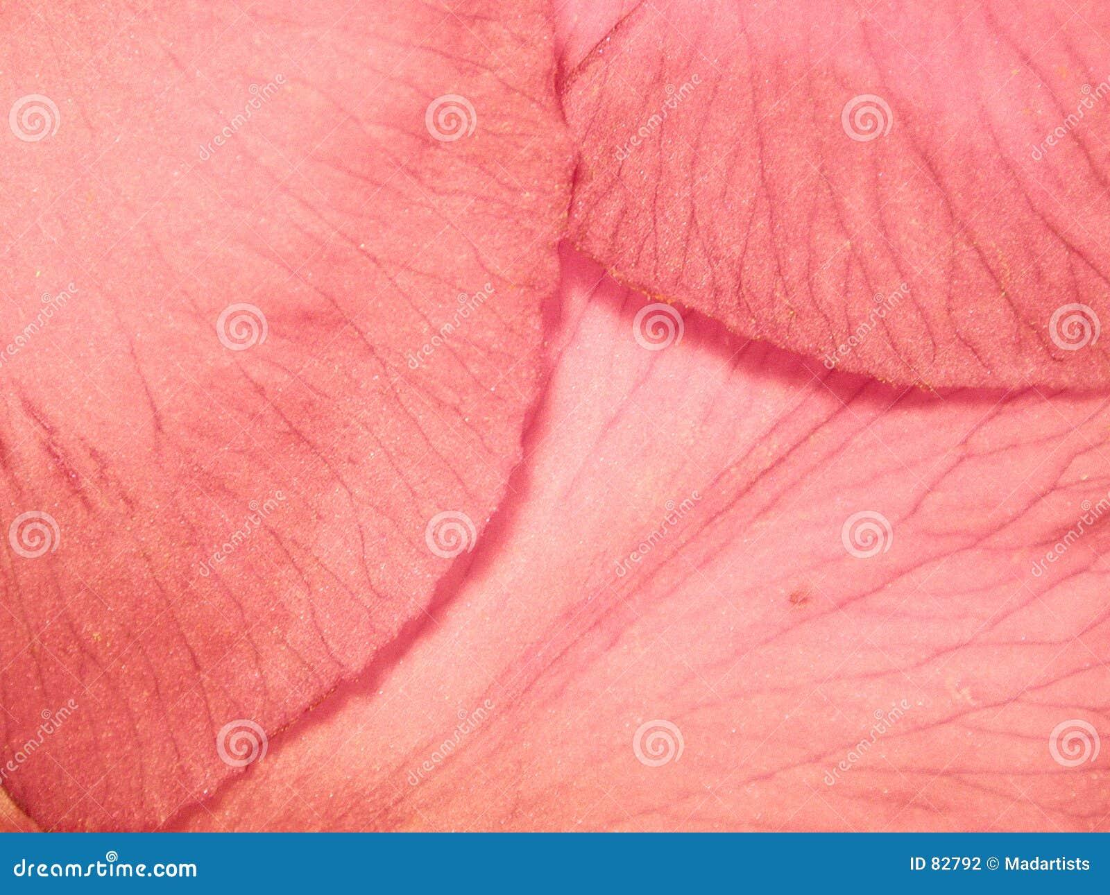 Photo rose molle de pétales de fleur
