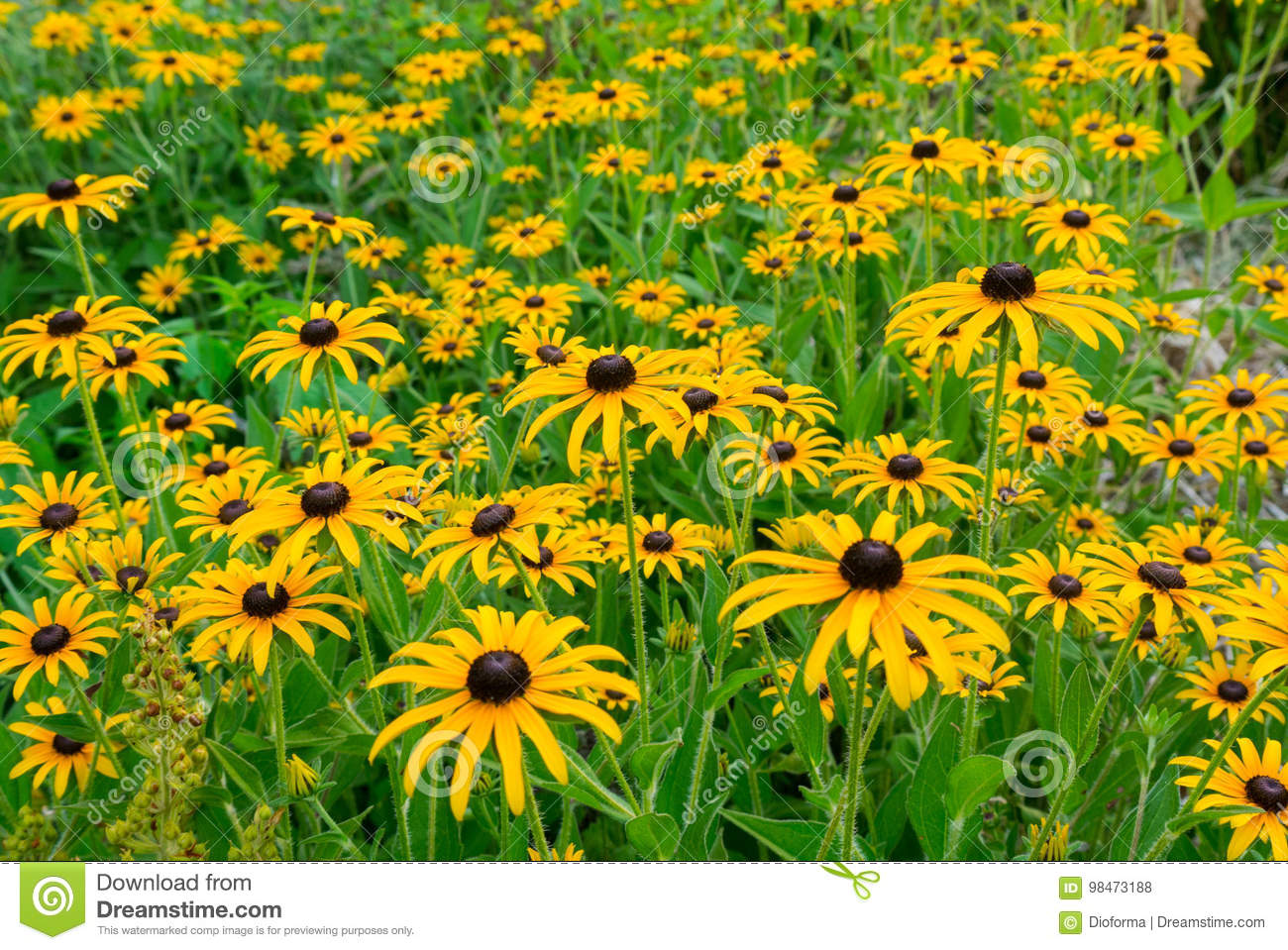 Photo of rudbeckia closeup