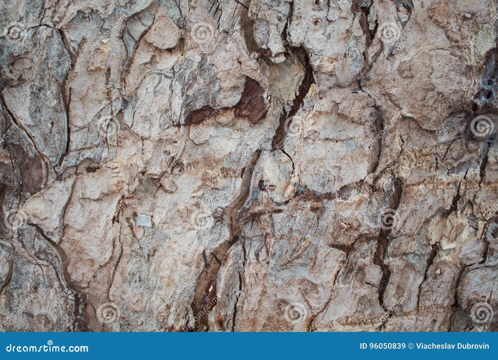 Photo rustique de texture de plan rapproché d écorce de chêne Plan rapproché rustique de tronc d arbre
