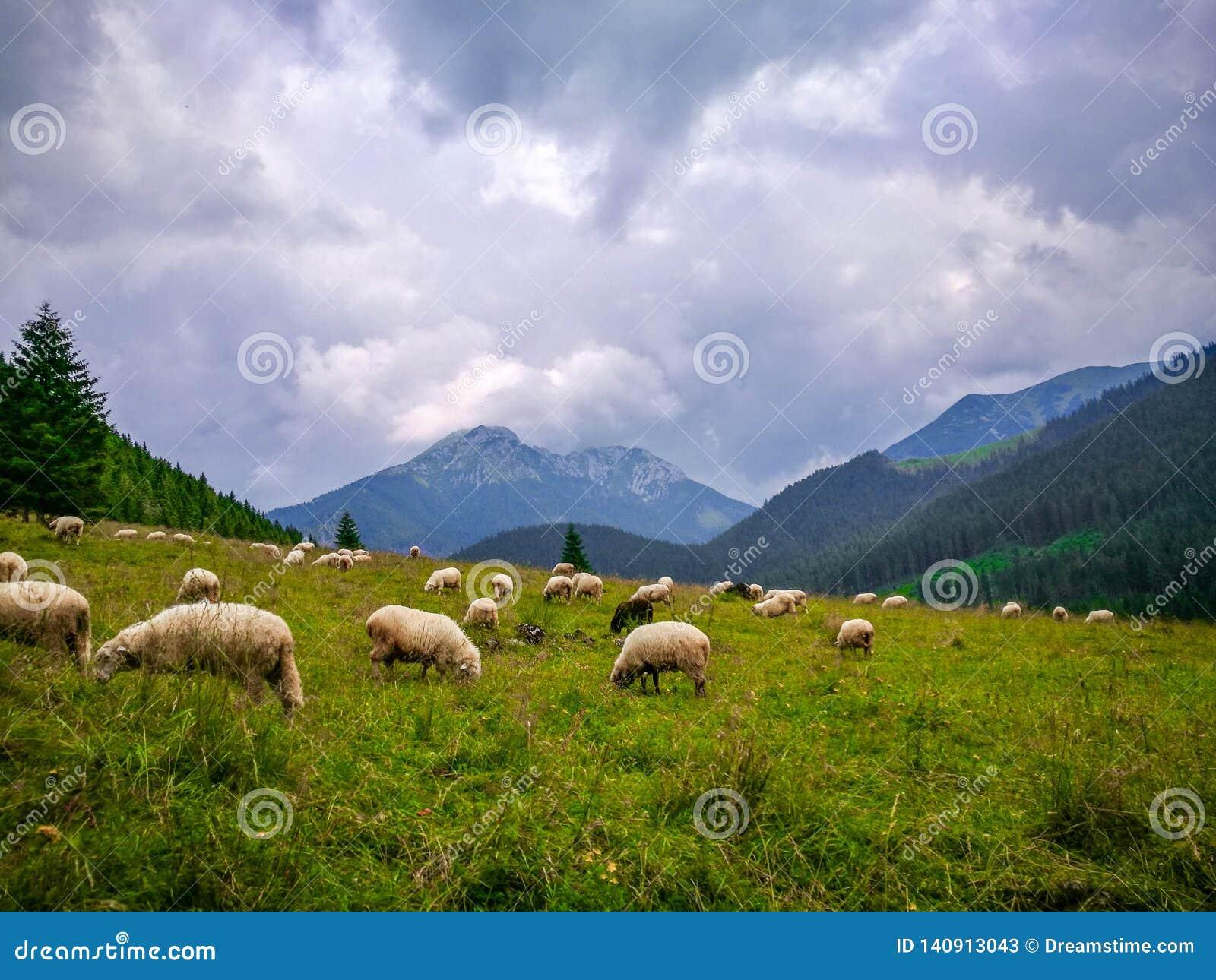 Sheep in the meadow, Zakopane, Polska