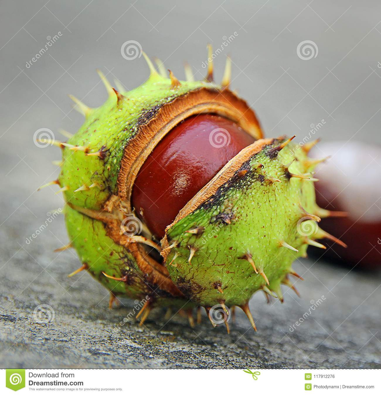 Download Geometric Spiky Conker Seed Pod Stock Photo - Image of soapberry, flowers: 117912276