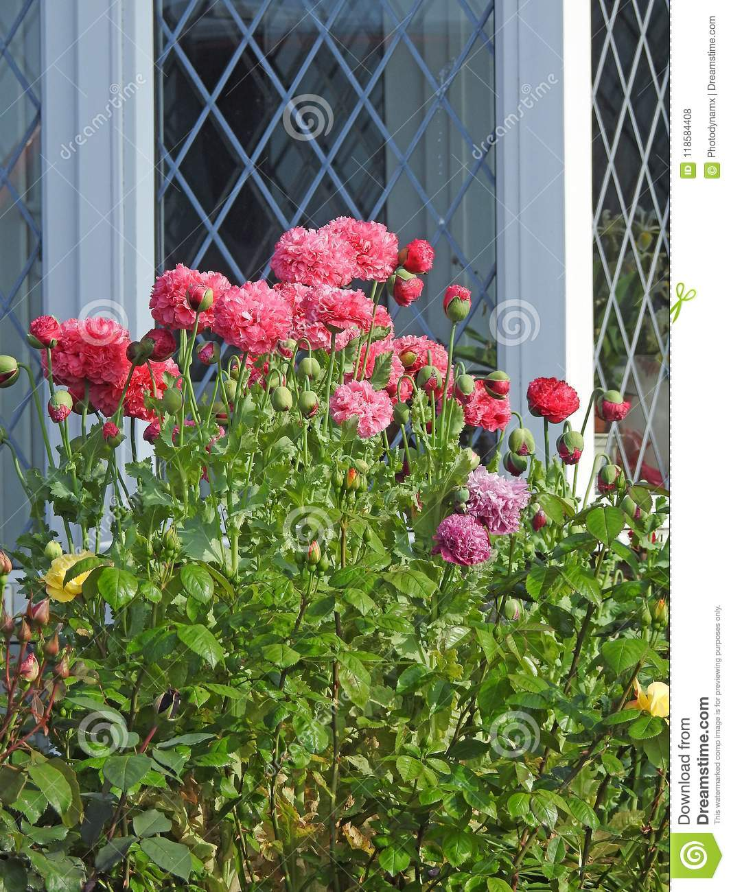 Cottage Garden Roses Poppies With Leaded Lattice Windows Stock