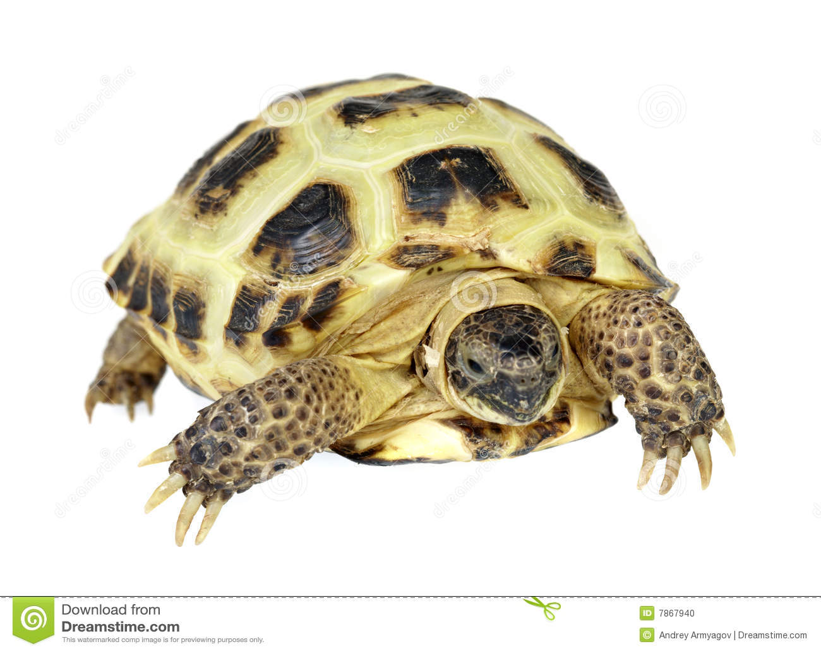 turtle white background - photo #30