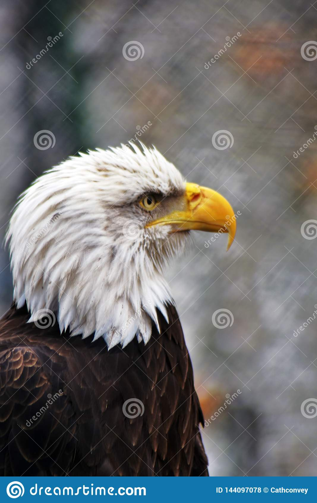 Photo verticale d une tête et d un coffre d aigle chauve