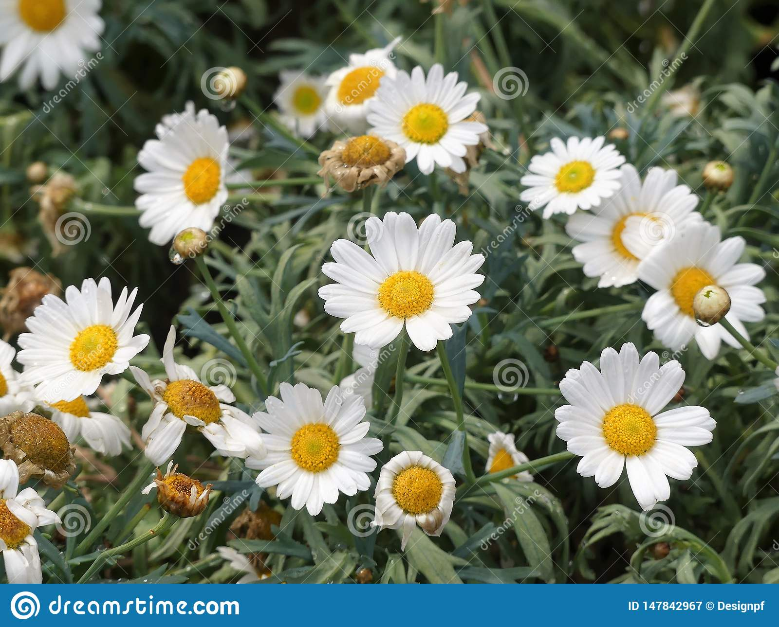 Beautiful white marguerite daisy flowers with yellow capitulum