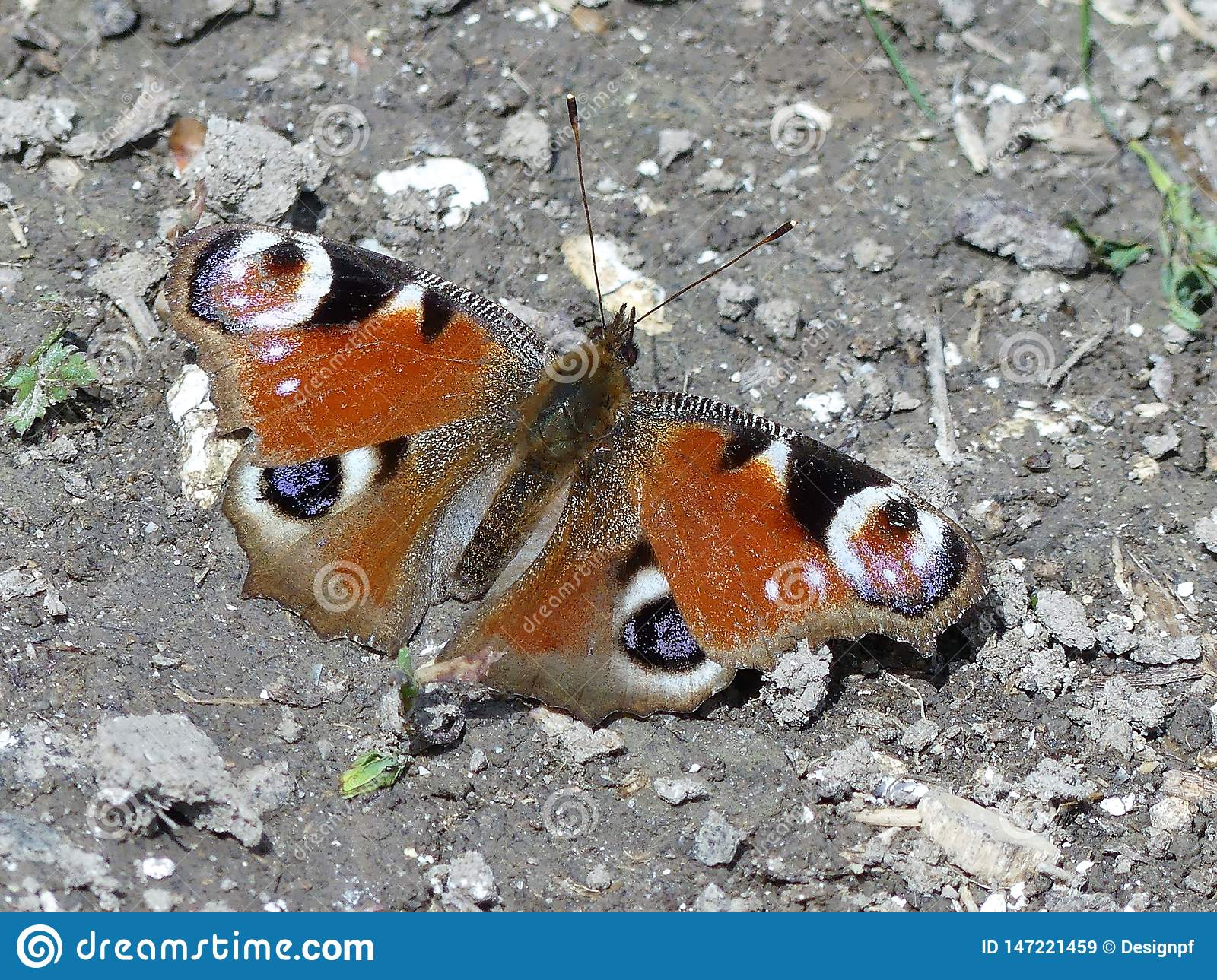 Close-up of Peacock Butterfly sitting on ground