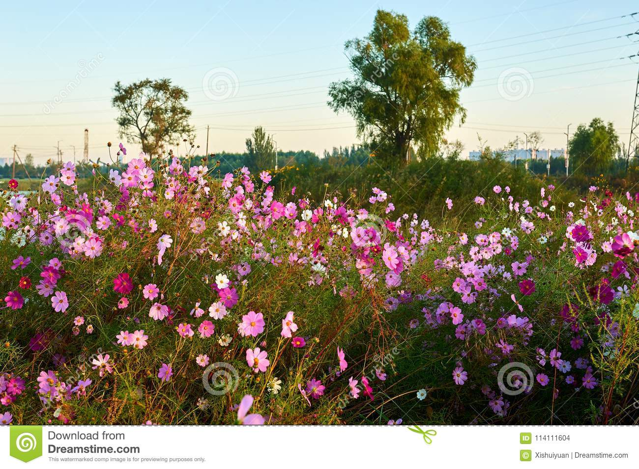 The Pink Perennial Coreopsis And Trees Stock Photo Image Of