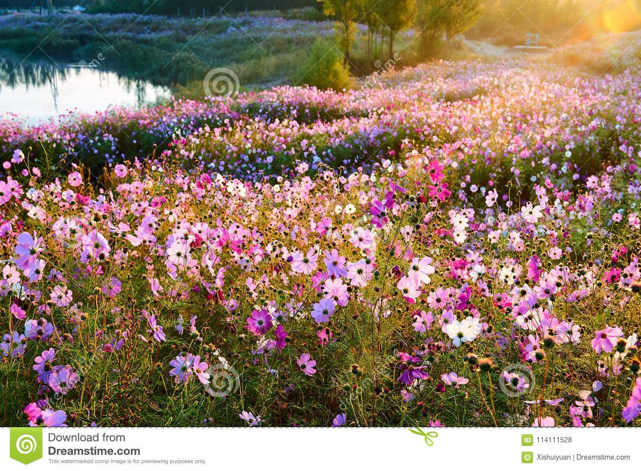 The Sea Of Flowers Of Perennial Coreopsis Sunrise Stock Photo ...