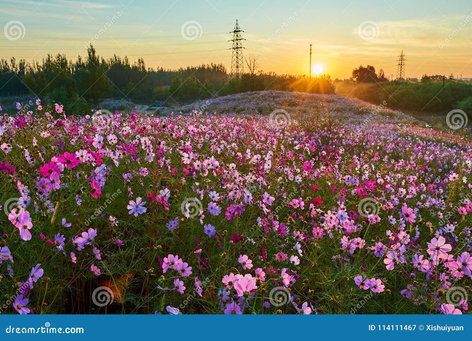 The sea of flowers sunrise stock image. Image of flora - 114111467