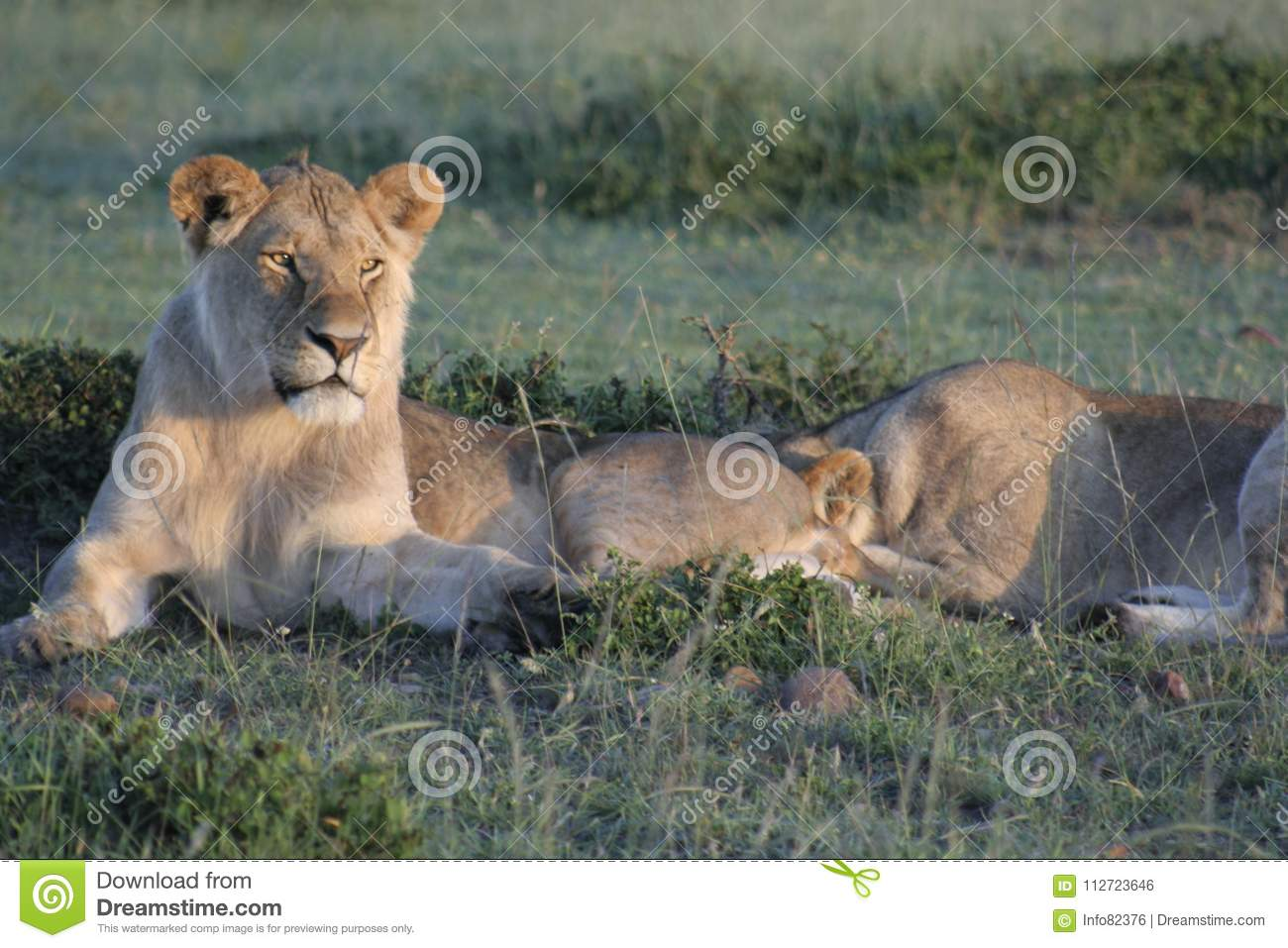 Image of: Most Dangerous This Photo Was Taken In The Heart Of African Savannamasai Mara Kenyalions Are Nocturnal Animalslions Are The The King Of The Jungle Dreamstimecom Lioness Pathela Leo Simba In Masai Mara In Kenyan Stock Photo