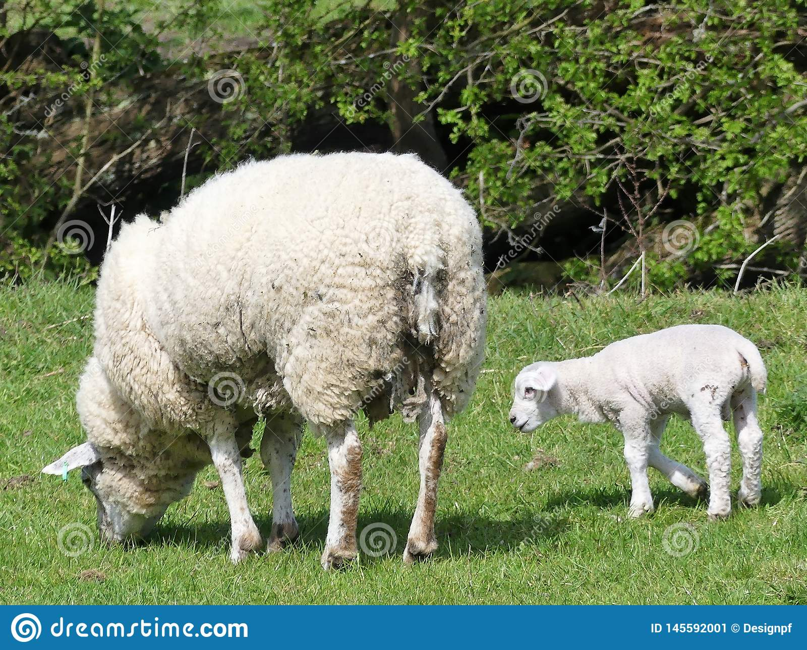 Ewe sheep and single lamb in field at springtime