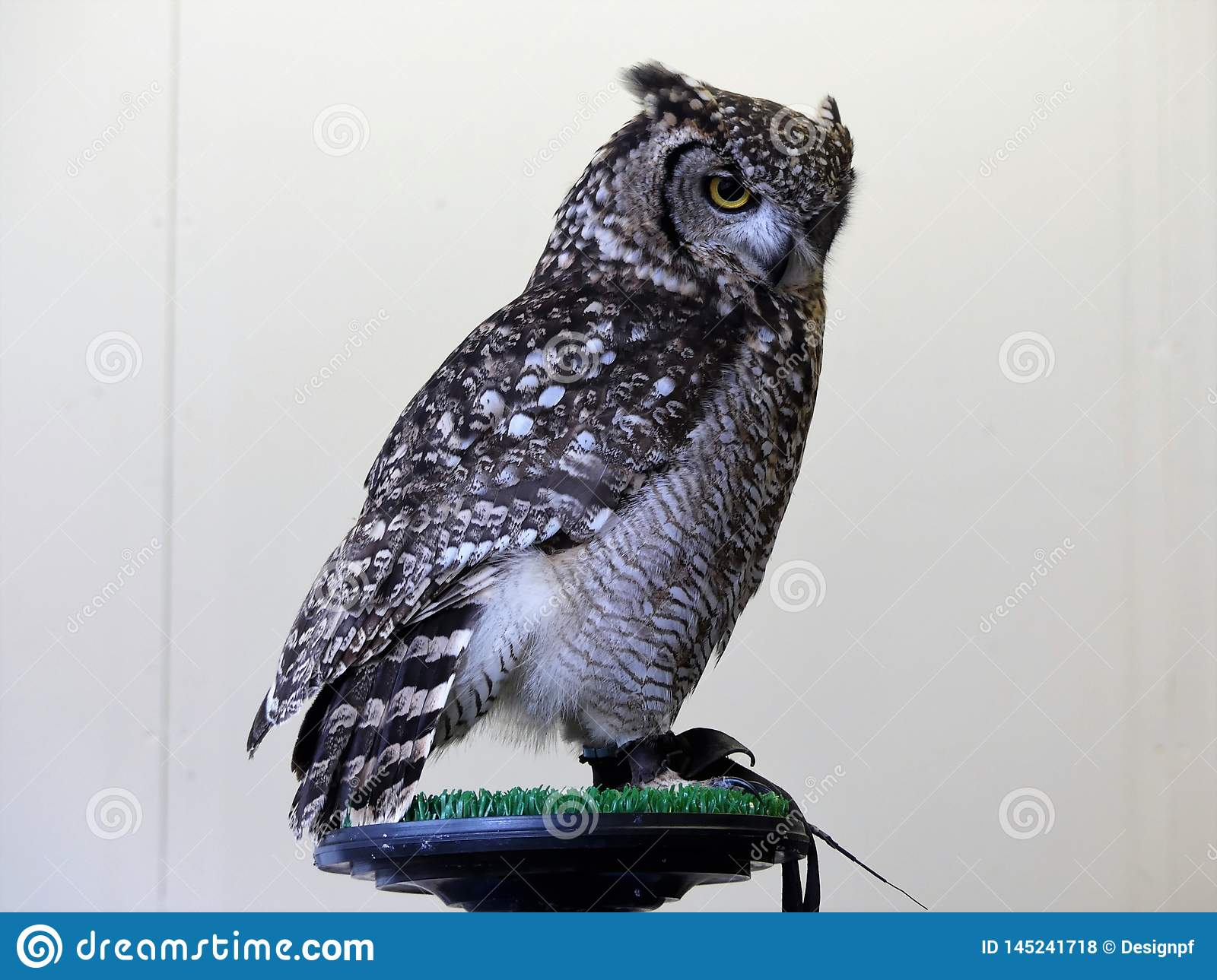 African eagle owl sitting on perch