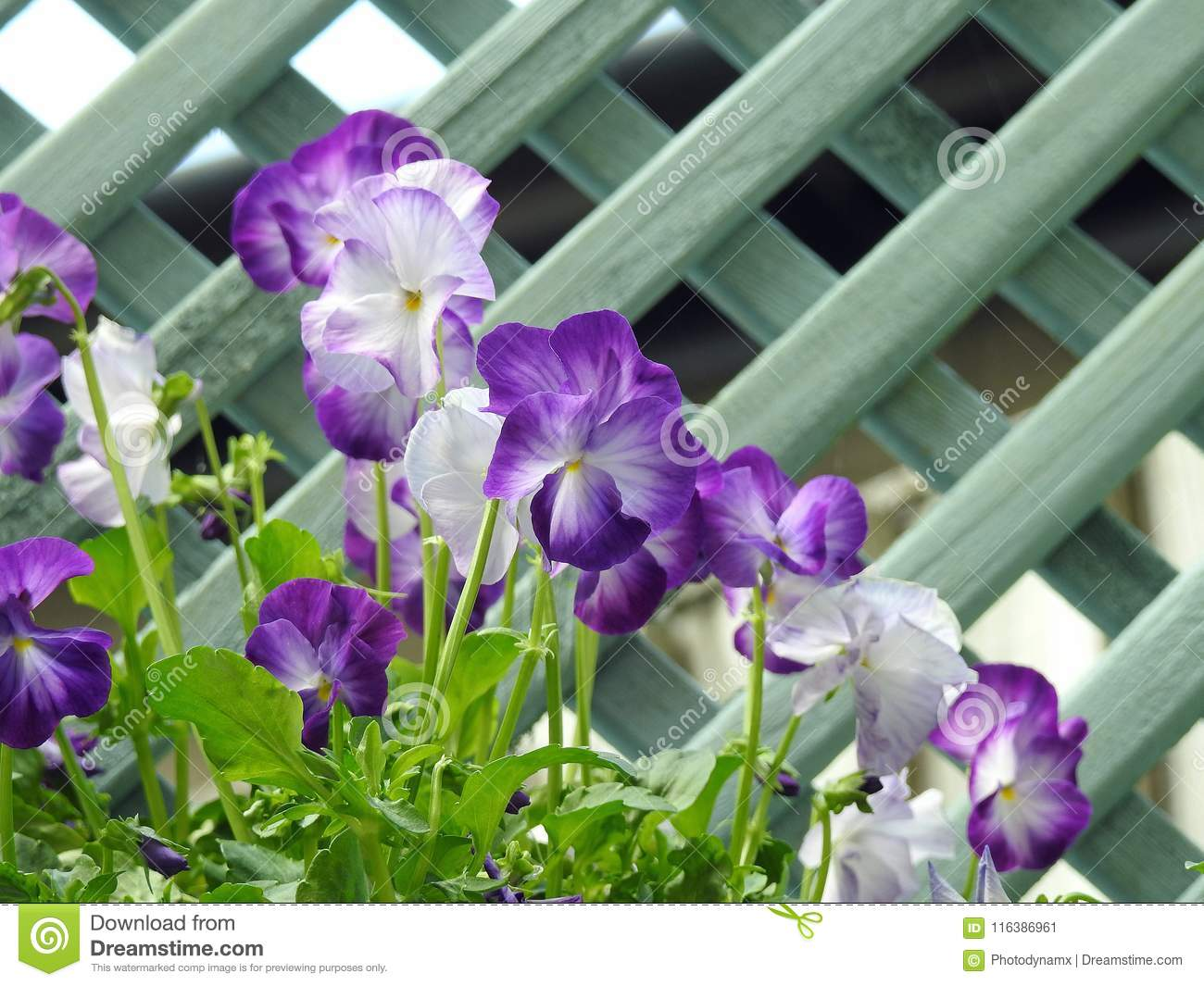 Wild Flowers Small Garden Pansy Plants Trellis Stock Image Image