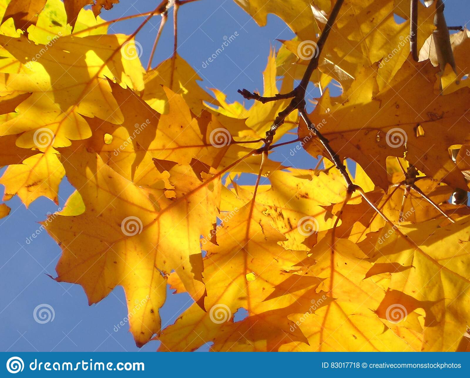 Download Photo Of Yellow Leaves Under Sunny Day Stock Photo - Image of up, angle: 83017718