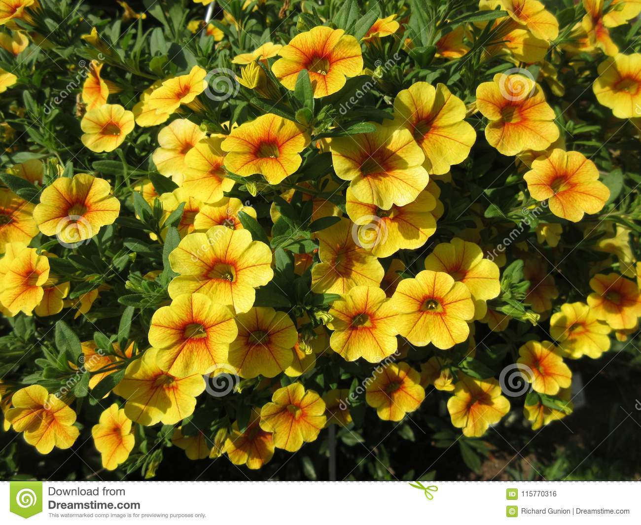 Yellow Petunias In Full Bloom In May Stock Photo Image Of Photo