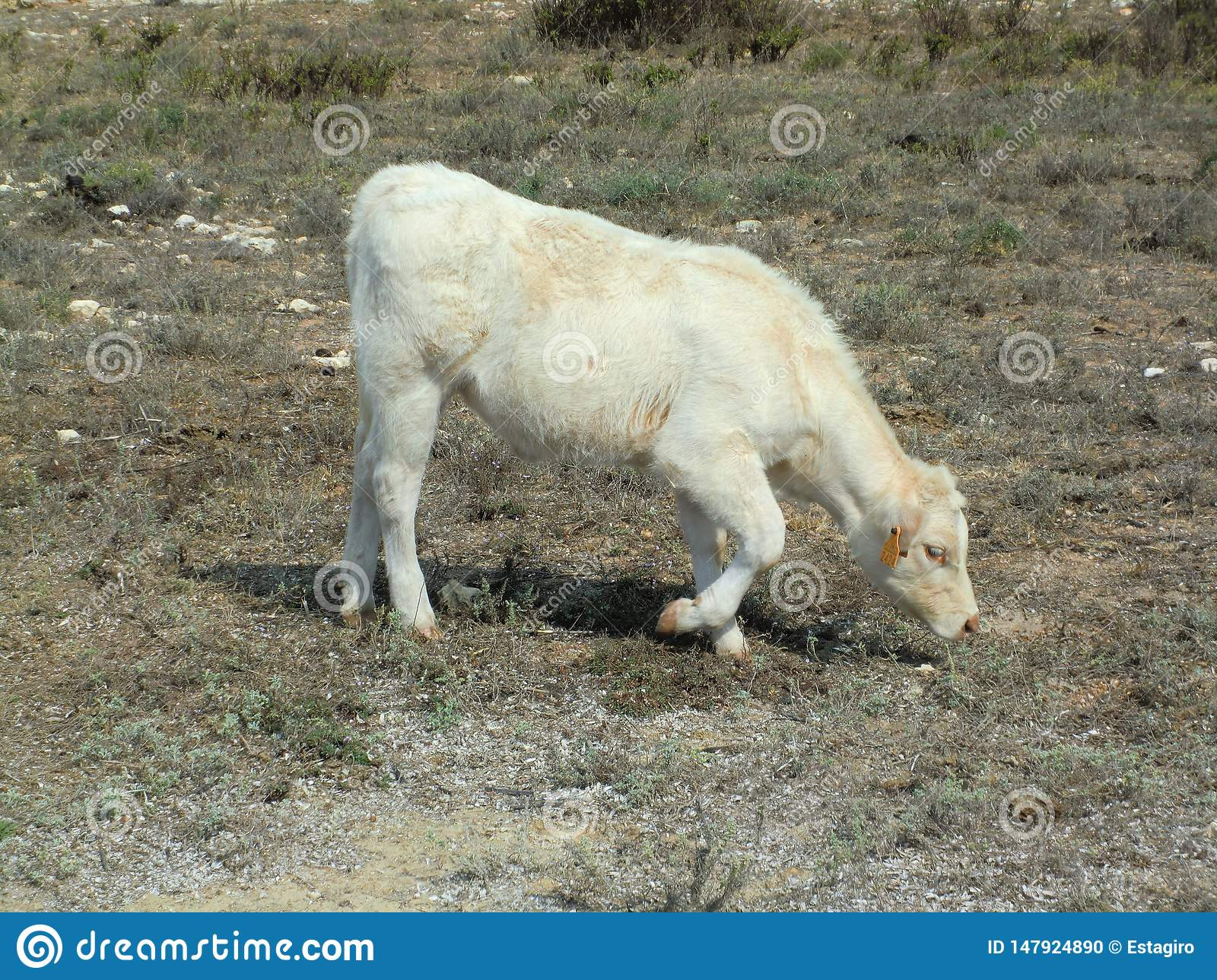 White cow grazing dry grass by the coast