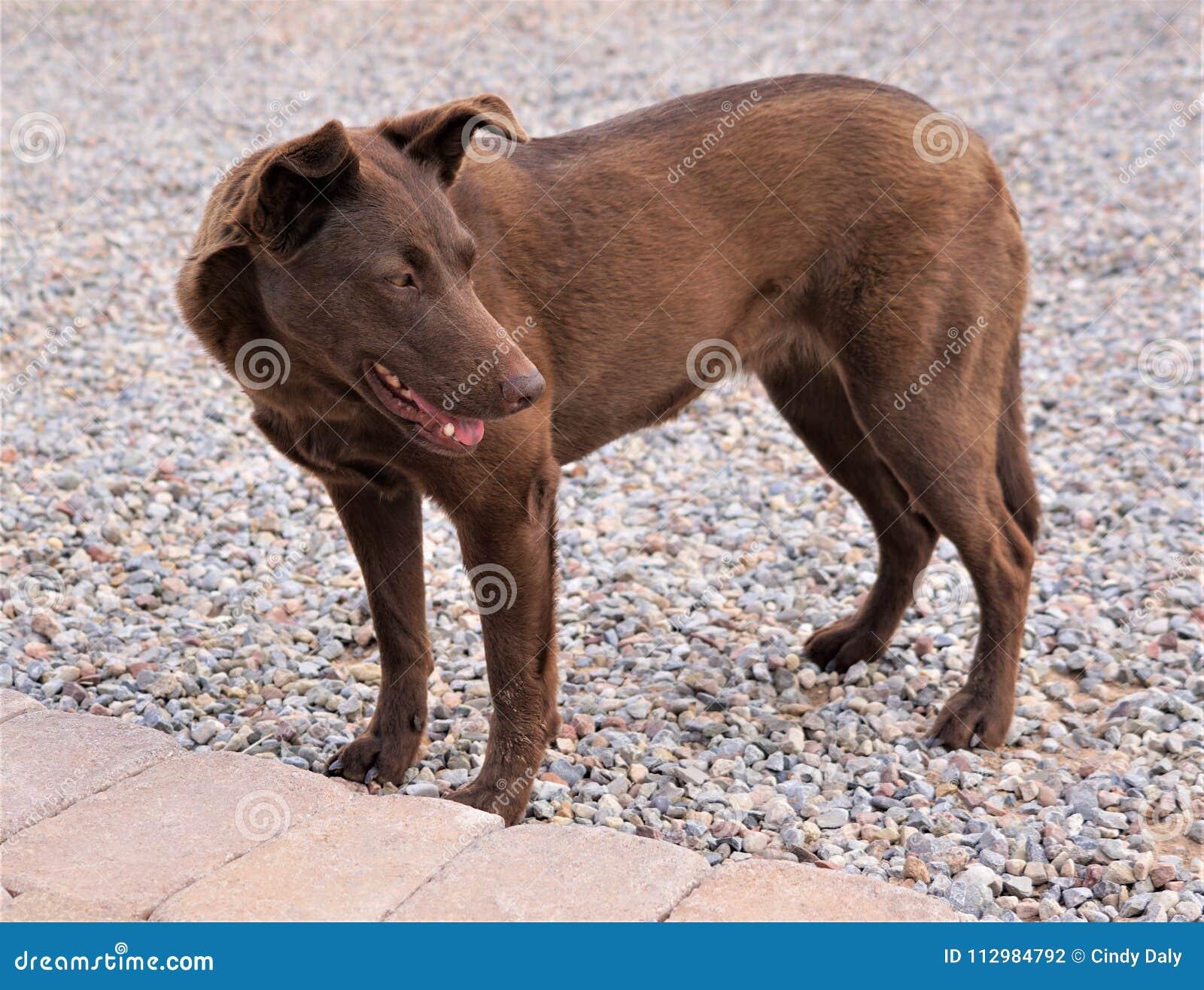 A photograph of an Australian Kelpi dog