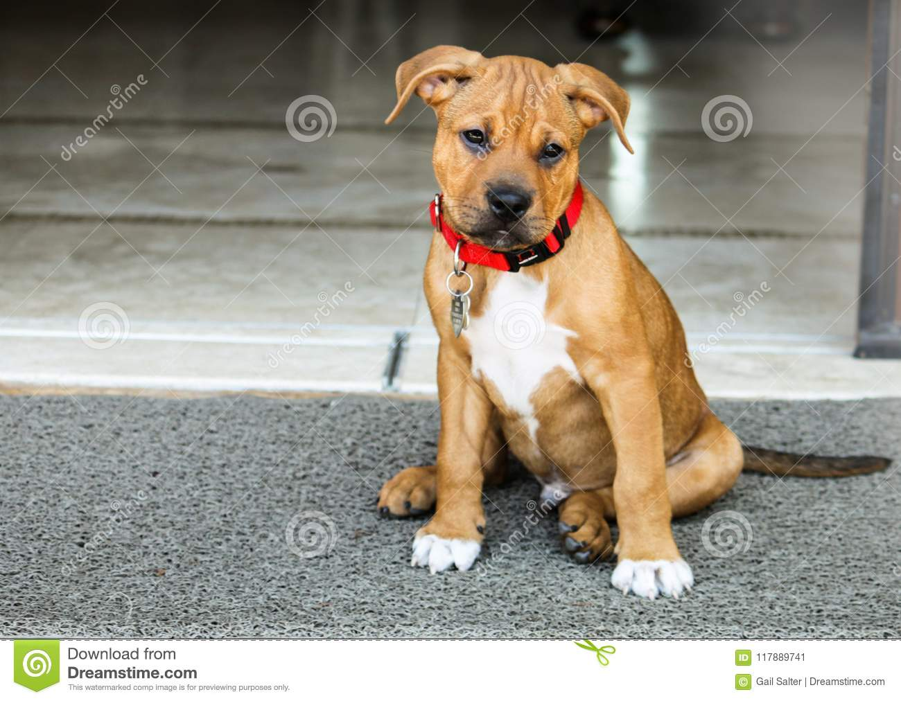 Puppy Dog Outside Boxer Pit Bull Mix Stock Image Image Of Looking