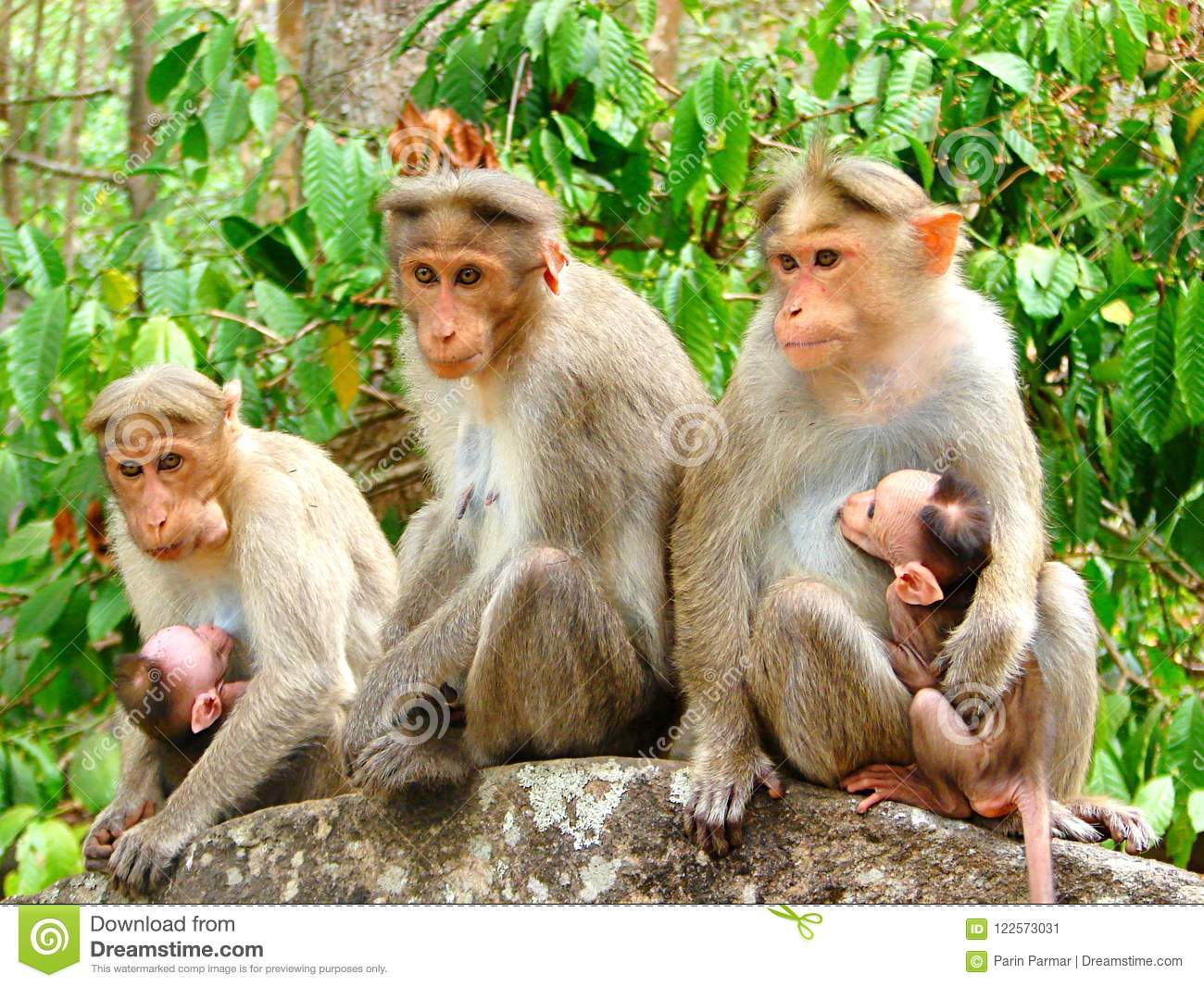 Team Monkey - Different Facial Expressions - Group of Rhesus Macaque - Macaca Mulatta