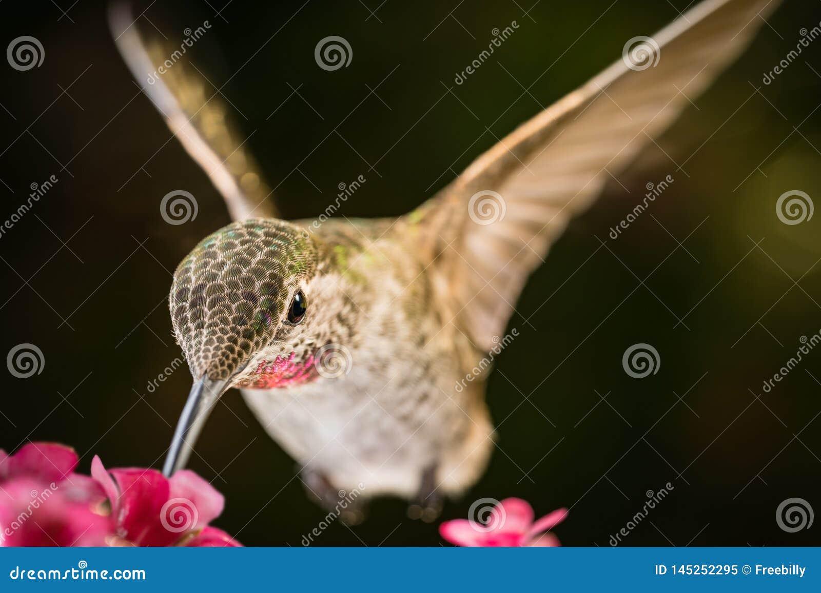 Hummingbird visits pink flowers