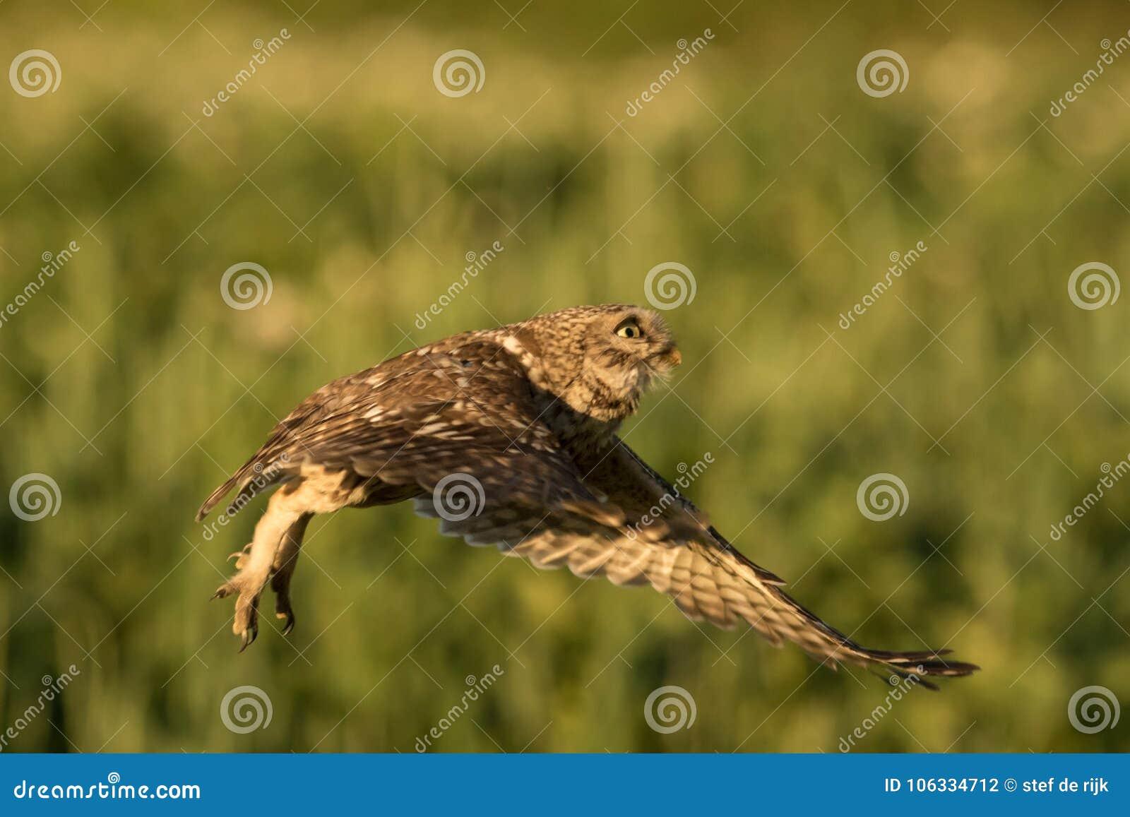 Little owl taking off