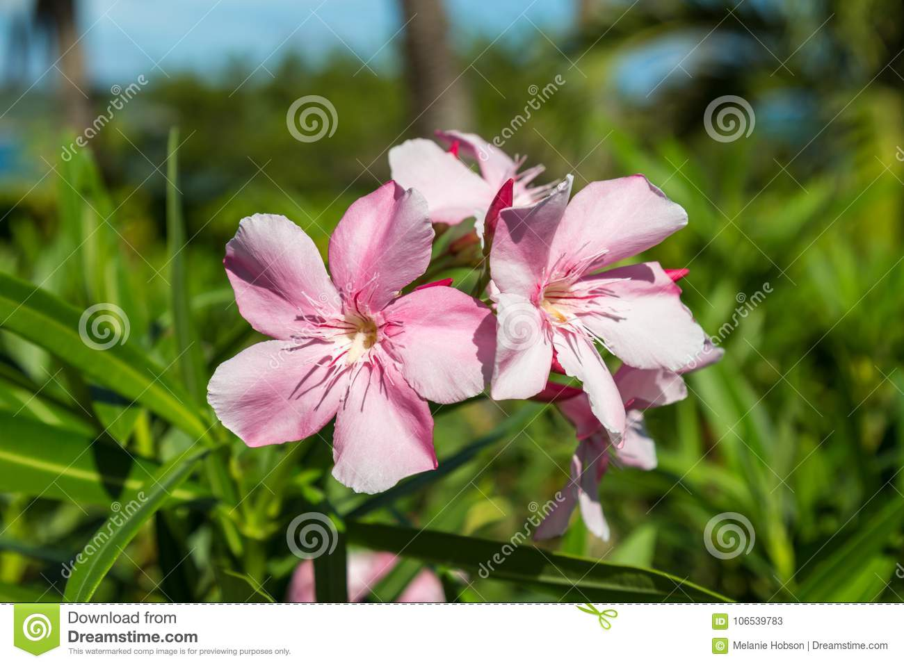 Delicate Pink Flowers Stock Image Image Of Green Shallow 106539783