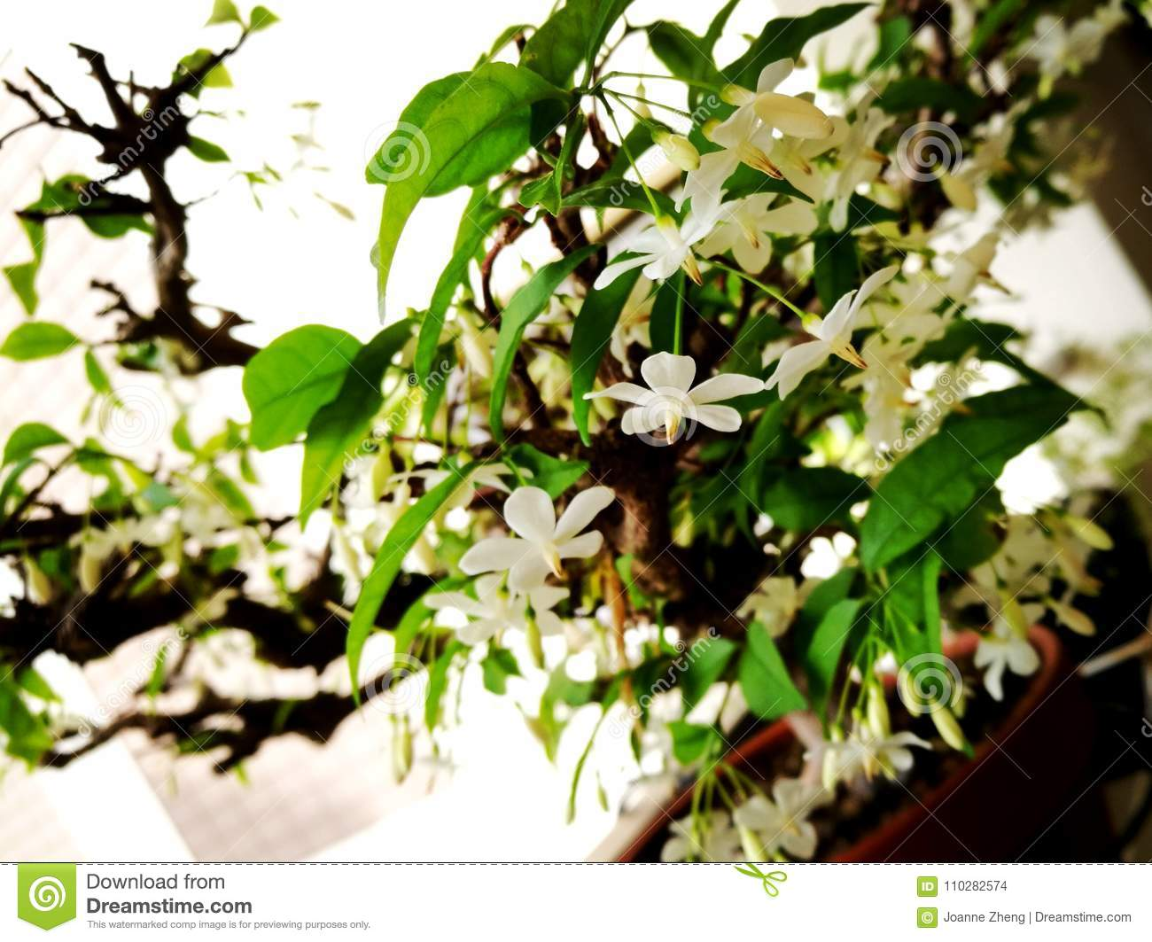 Wrightia Religiosa White Flowers Close Up Stock Photo Image Of