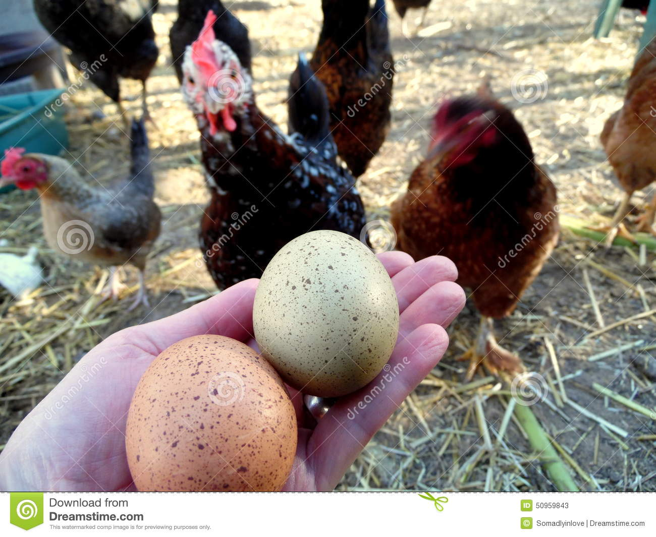 Photograph Of Speckled Eggs And Chickens Stock Image