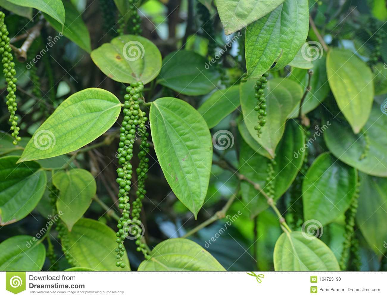 Black Pepper Vine - Piper Nigrum - Green drupes with Leaves in Kerala, India