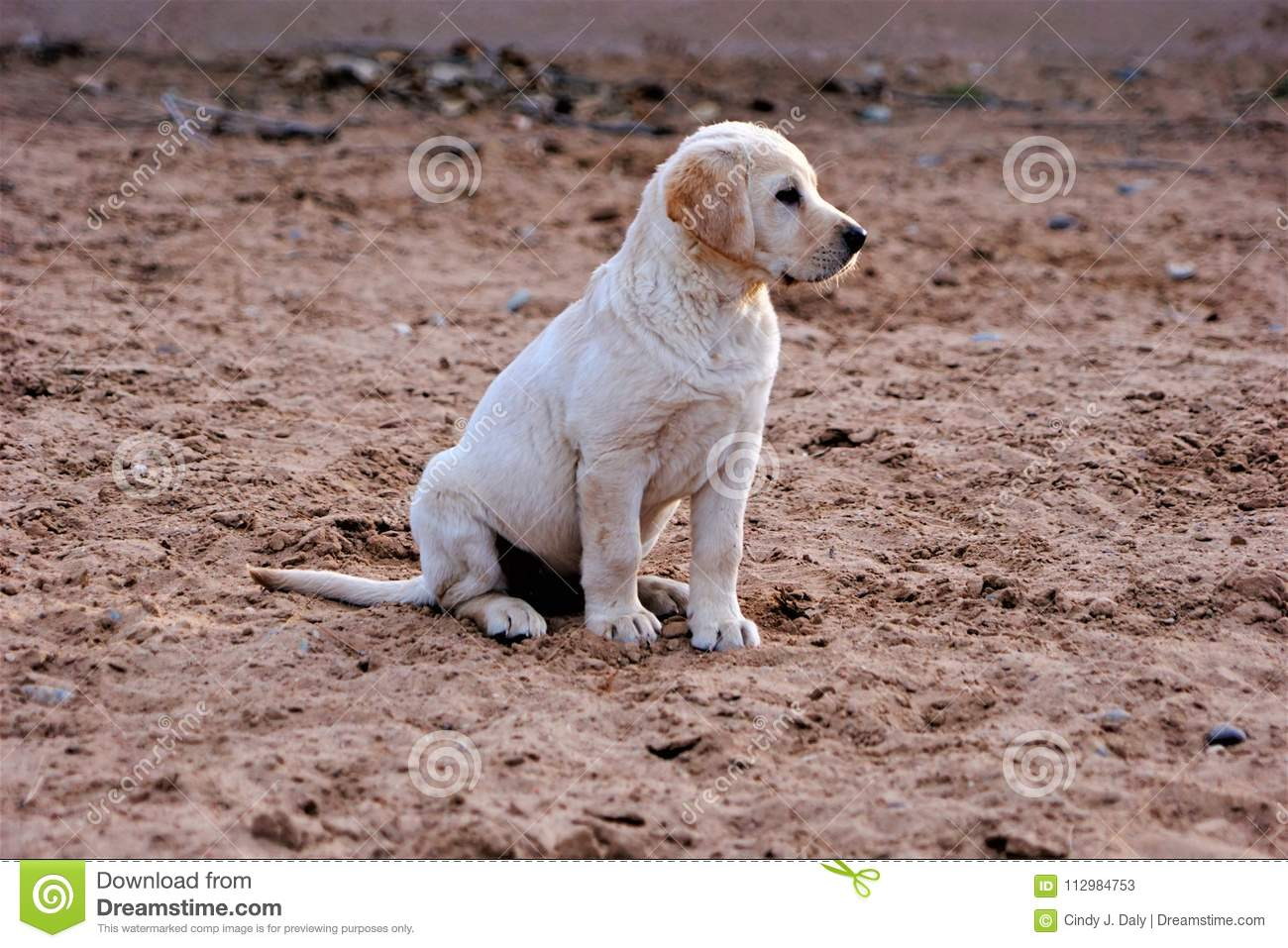 A photograph of a yellow labrador puppy sitting in the sand