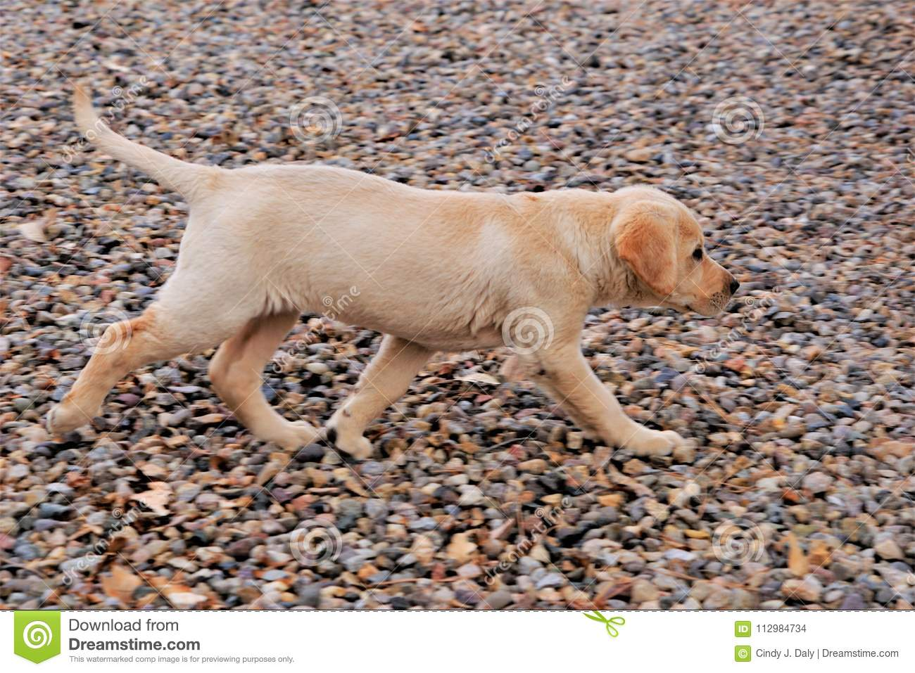 A photograph of a yellow labrador puppy trotting blur