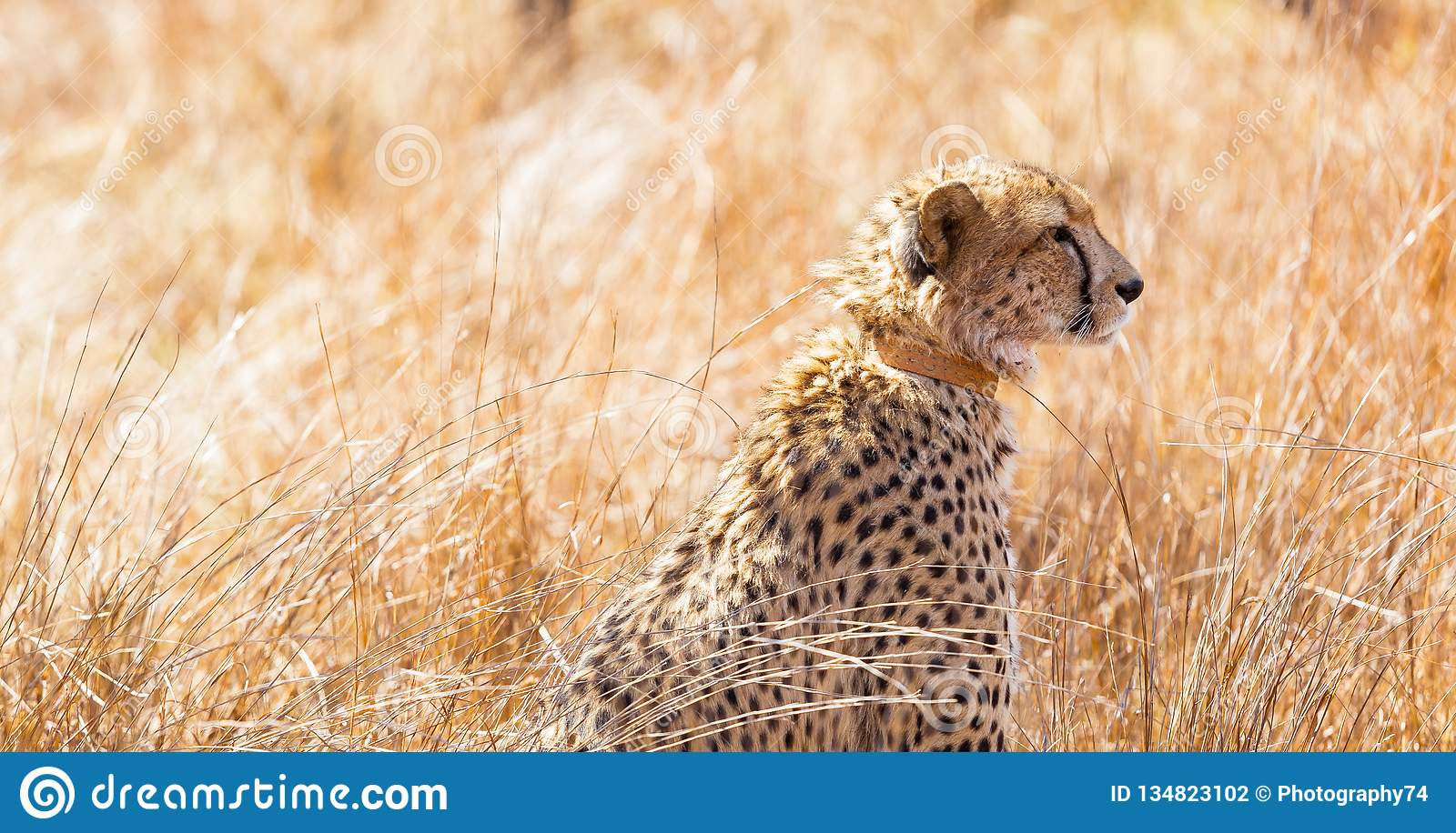 African Cheetah Sitting In Long Grass Stock Photo Image Of