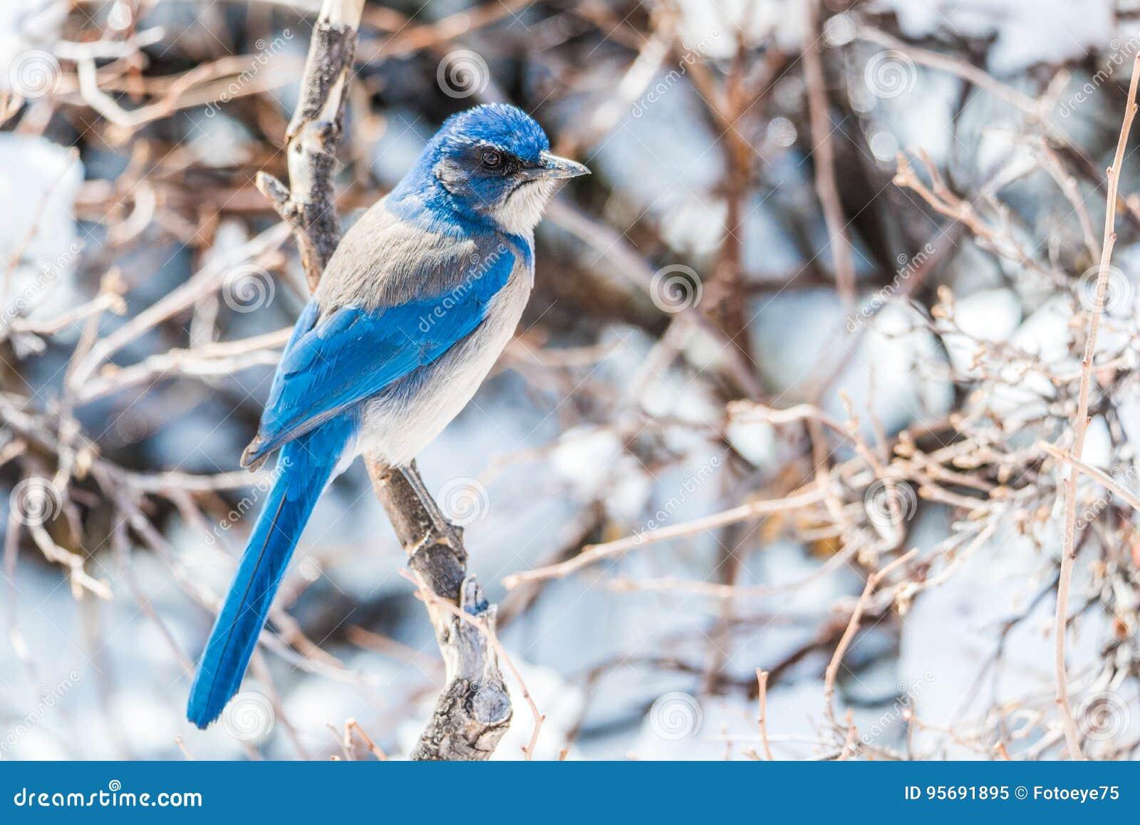 Photographie d oiseau d hiver - l oiseau bleu sur la neige a couvert l arbre de buisson