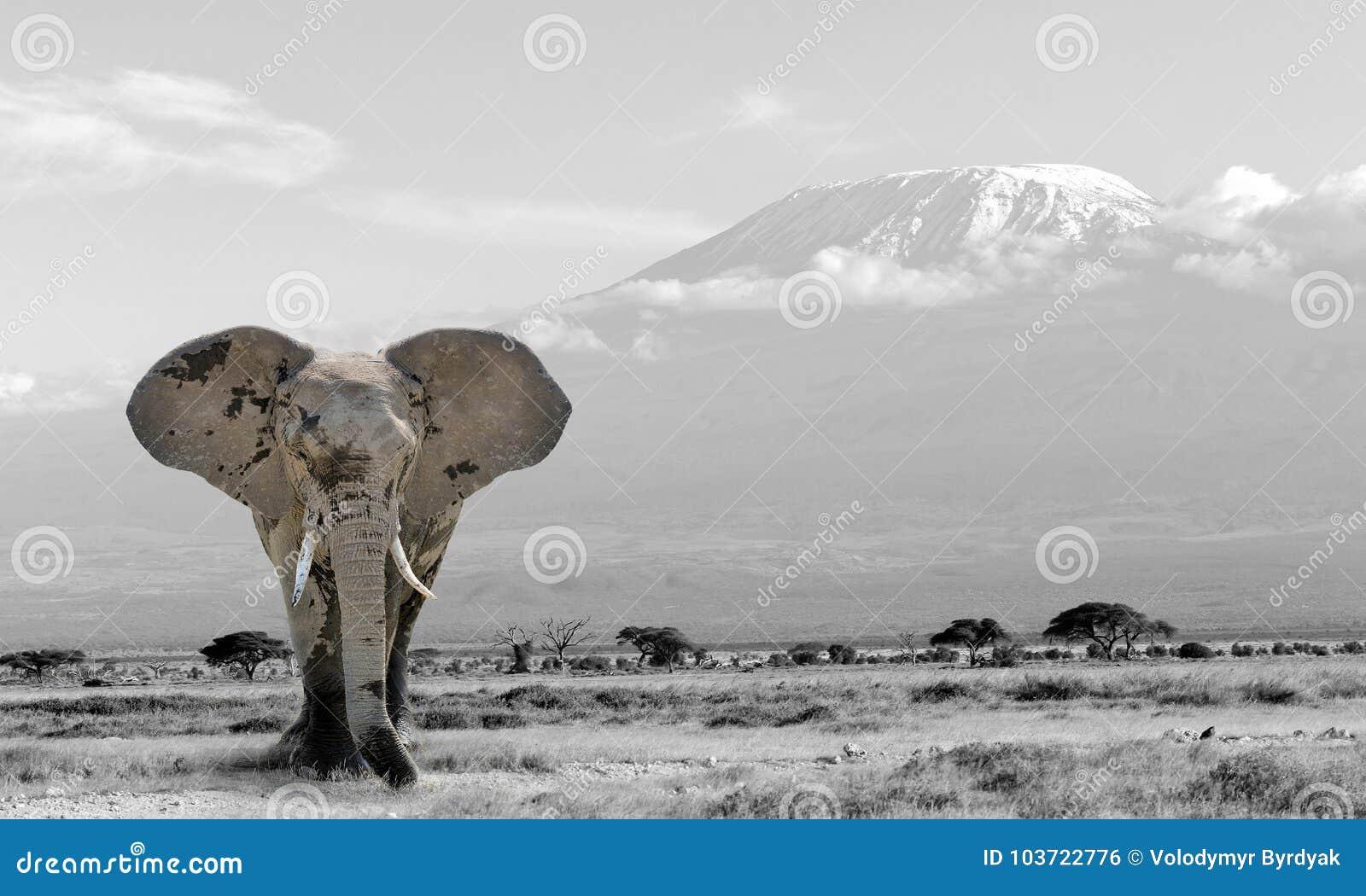 Photographie noire et blanche avec l éléphant de couleur