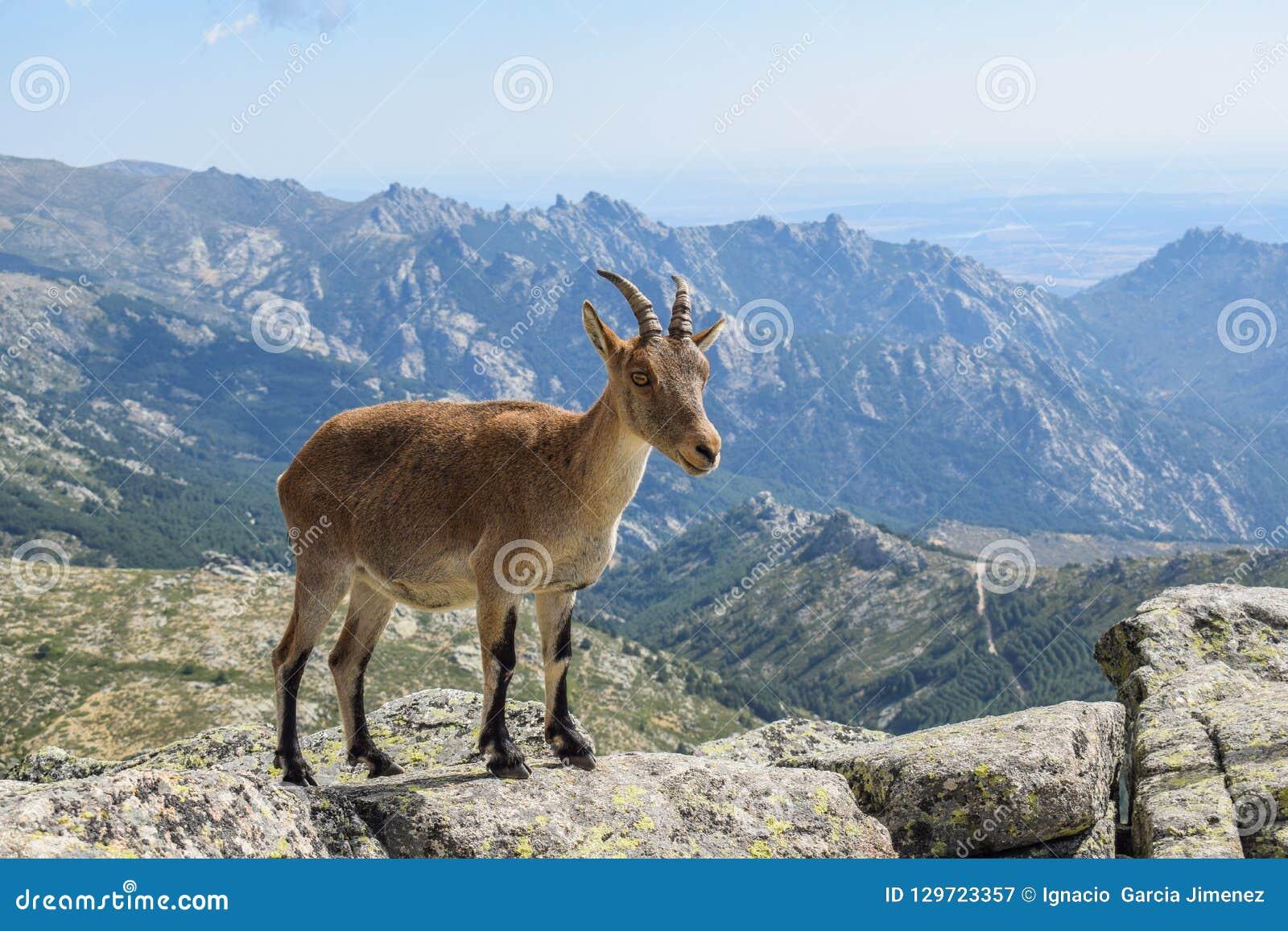 Goat nature 19