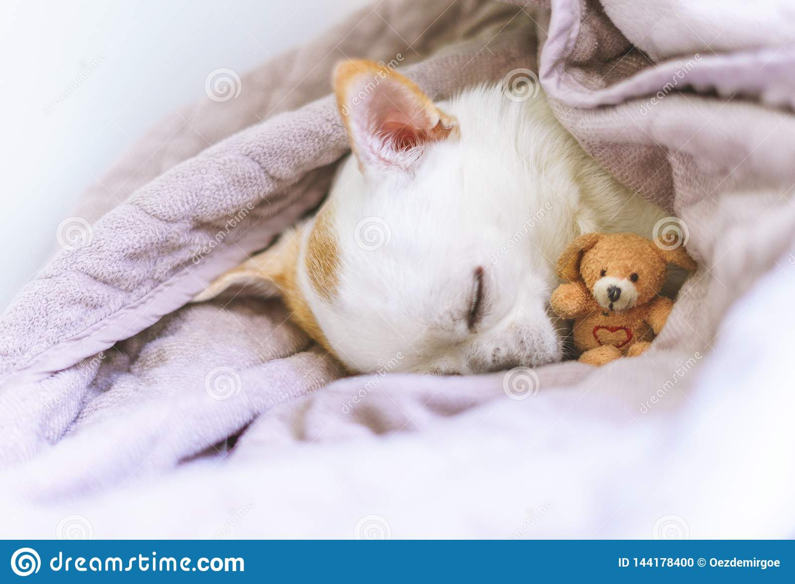 Photography of a cute sleeping chihuahua in basket with his teddy