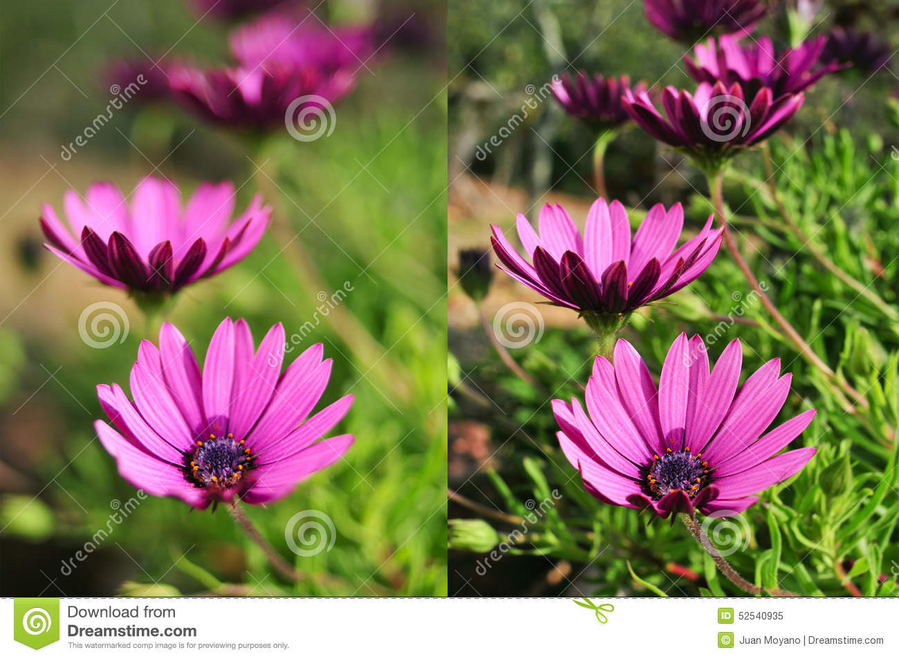 Photos Of Purple Flowers Shot With Different Apertures Stock Image