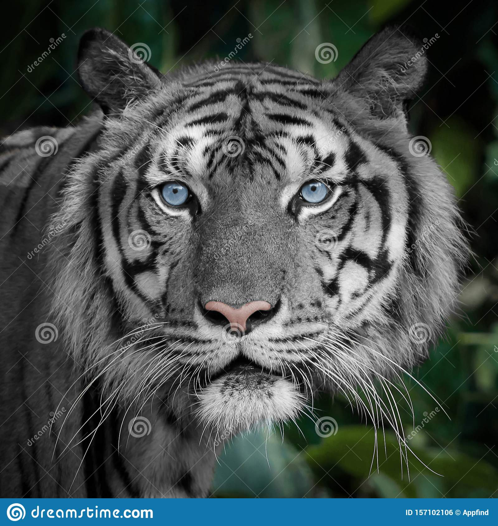photos tiger naturally white blue eyes forest background 157102106