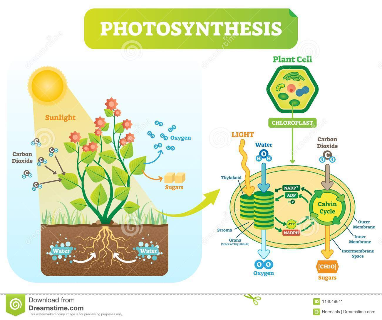 Photosynthesis biological vector illustration diagram with plan cell download comp ccuart Choice Image