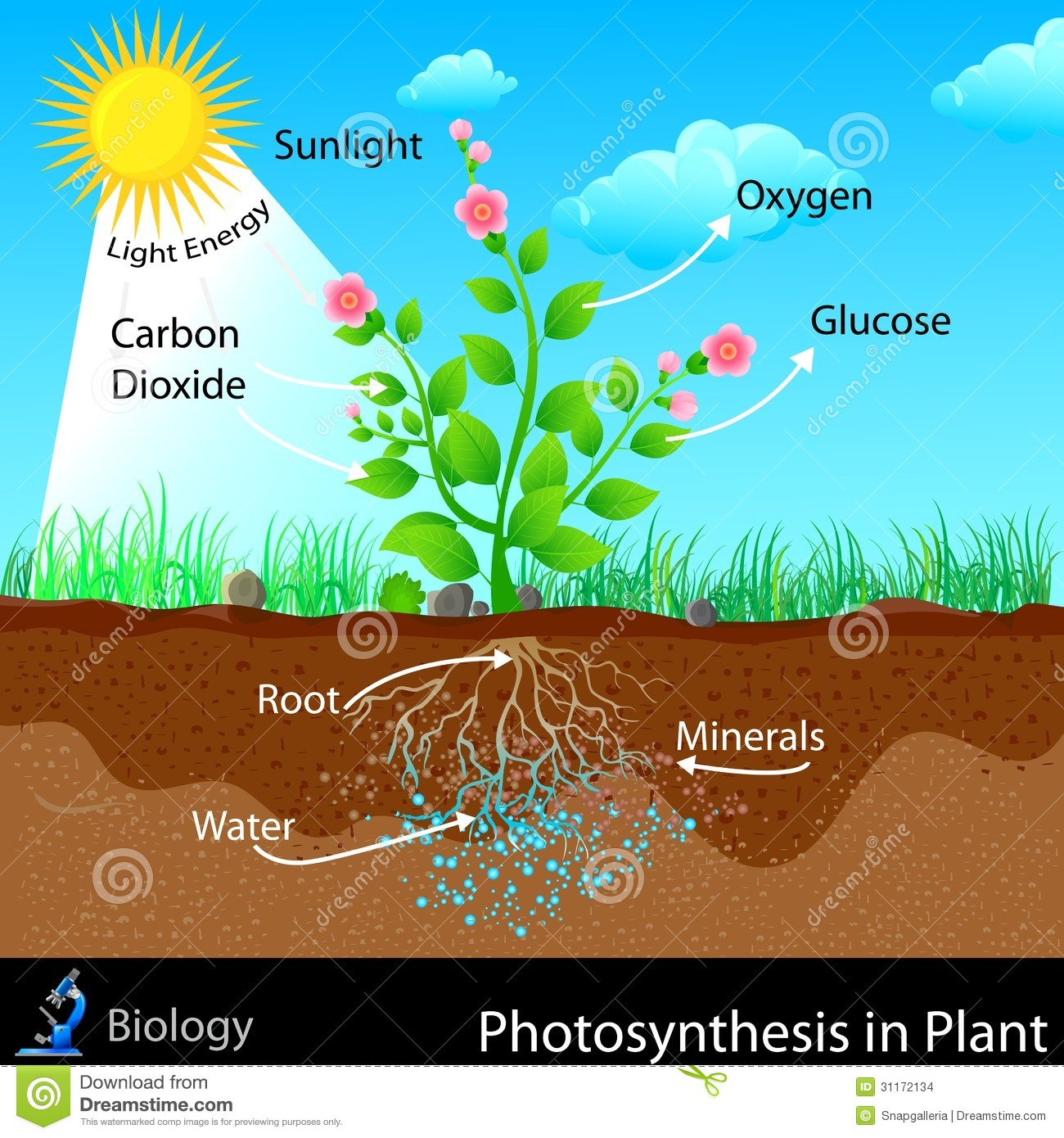 Easy to edit vector illustration of photosynthesis in plant.
