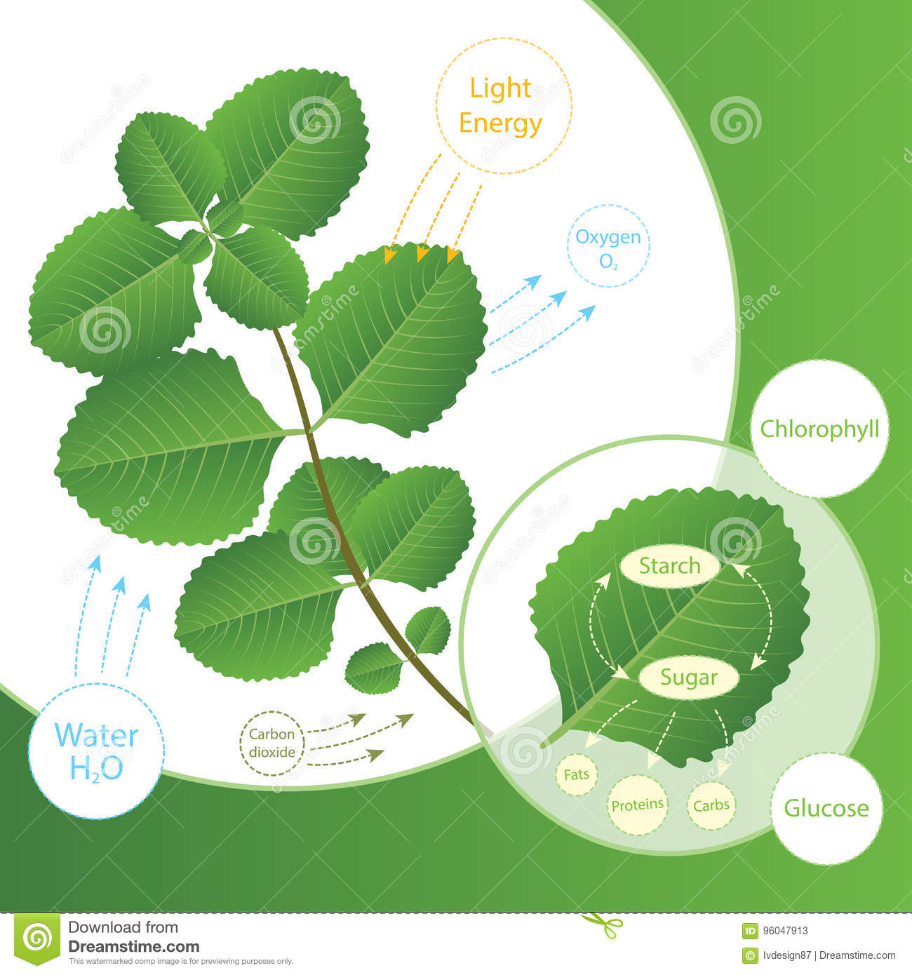 Photosynthesis process in plant. Plants make food using sunlight. Biology scheme of photosynthesis for education