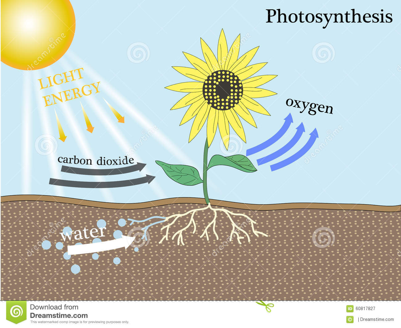 Biology essay on photosynthesis
