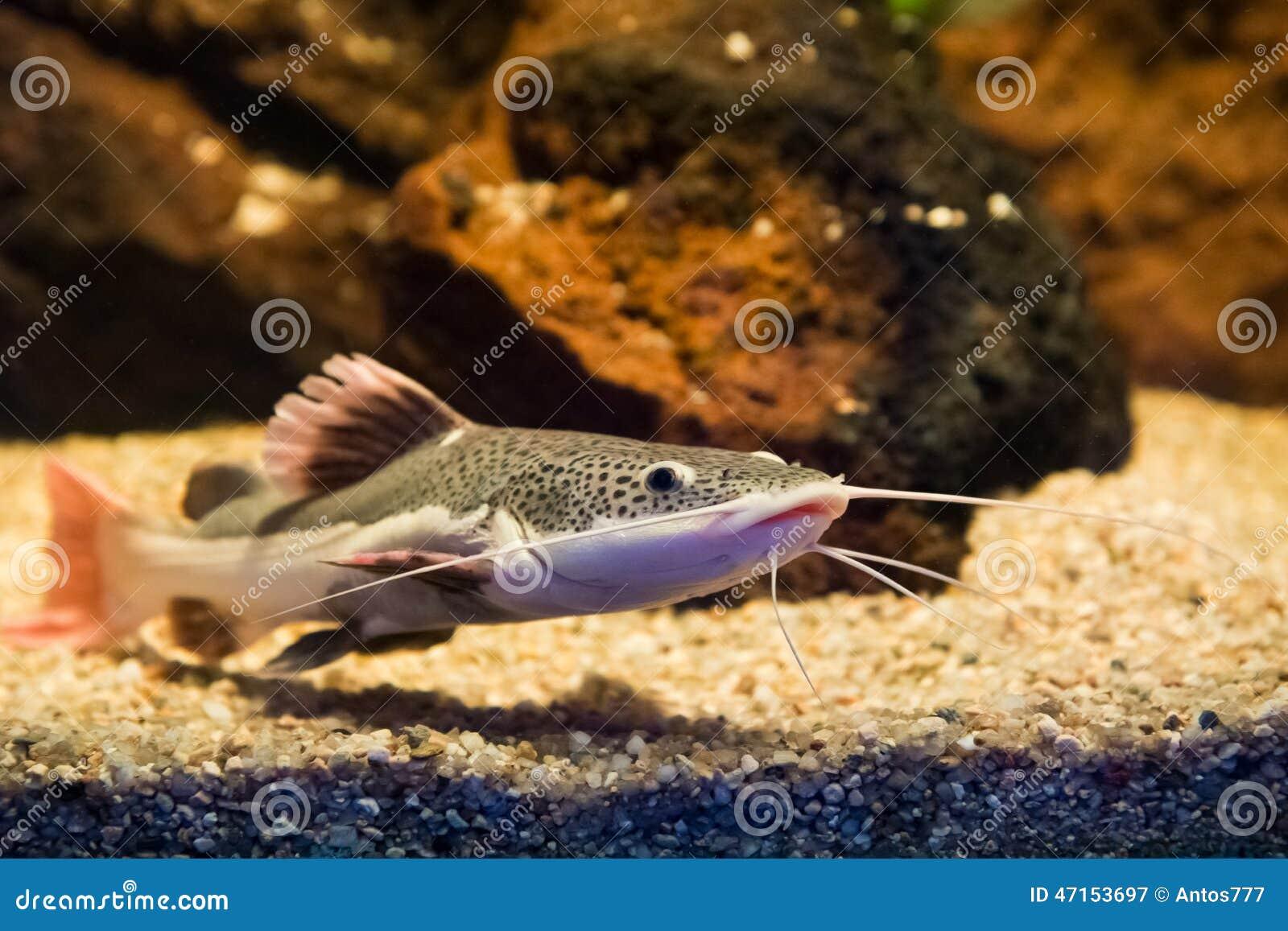 Phractocephalus hemioliopterus redtail catfish stock for Sweet water fish