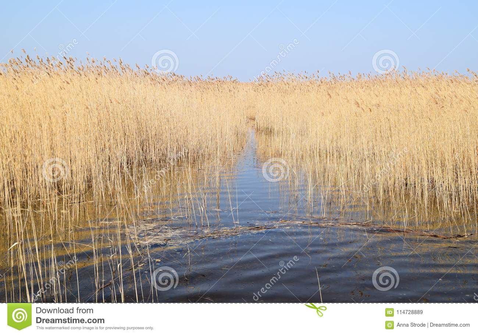 Phragmites perennial grasses in wetlands.