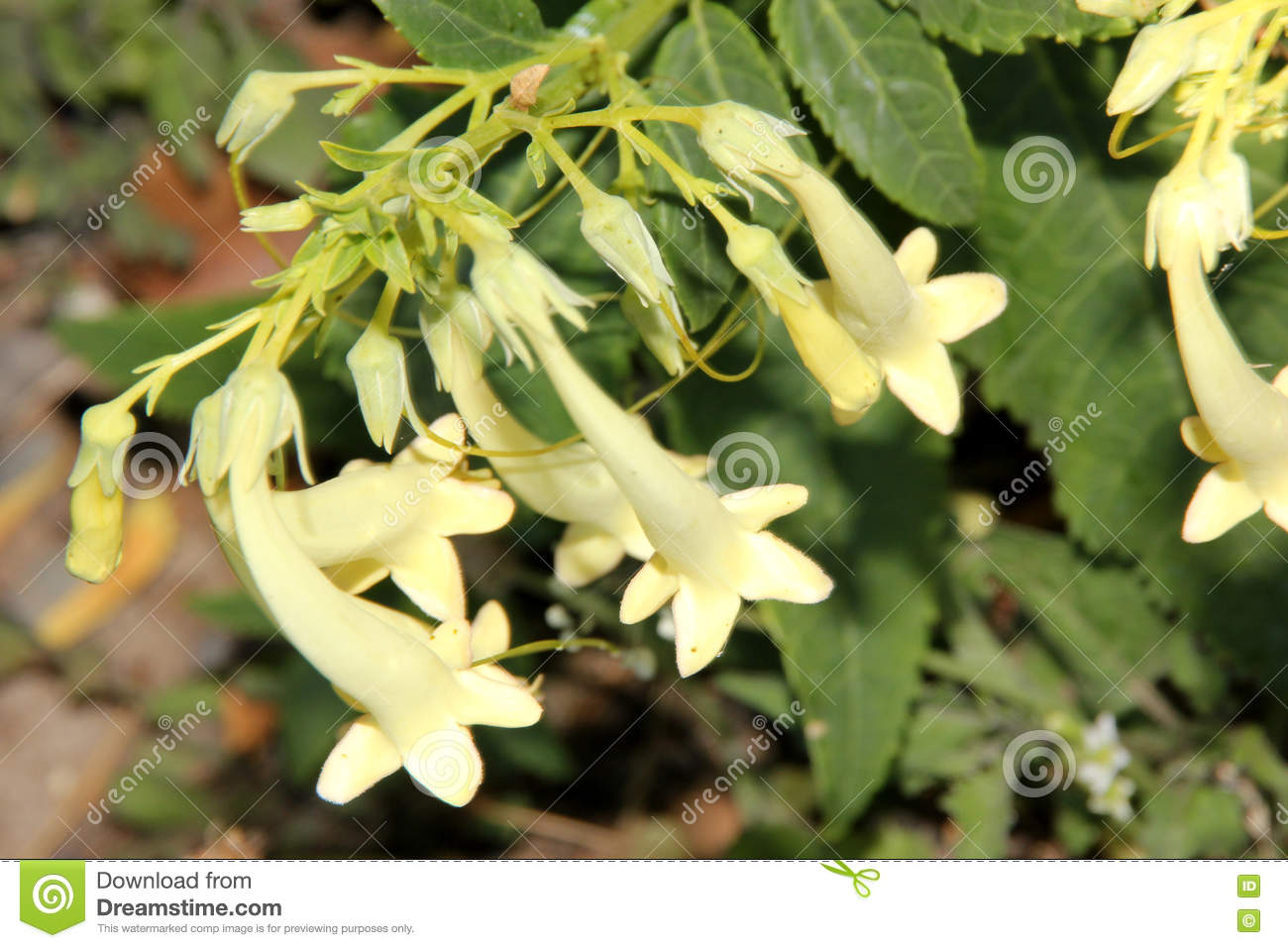 Phygelius aequalis yellow trumpet cape fuchsia stock photo phygelius aequalis yellow trumpet cape fuchsia hardy perennial with green leaves and cream yellow fuchsia like tubular flowers in one sided hanging mightylinksfo