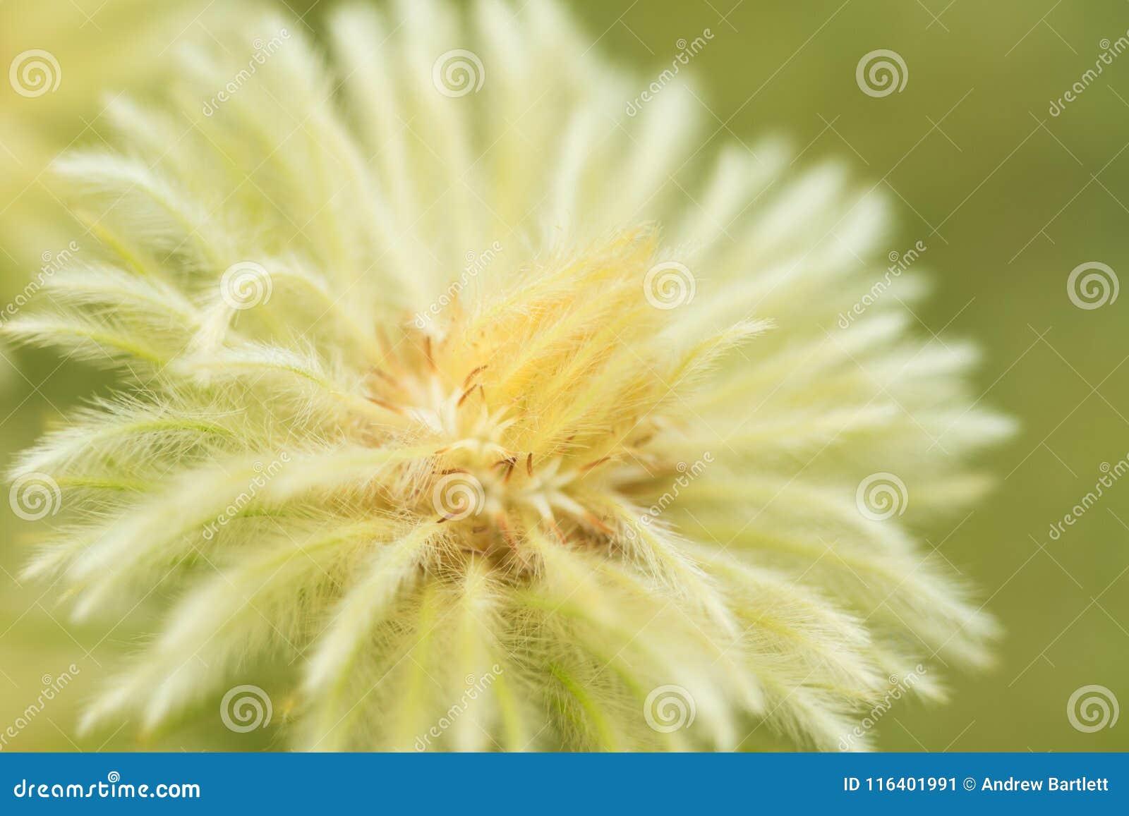 Phylica Pubescens florece en la floración en sol de la primavera
