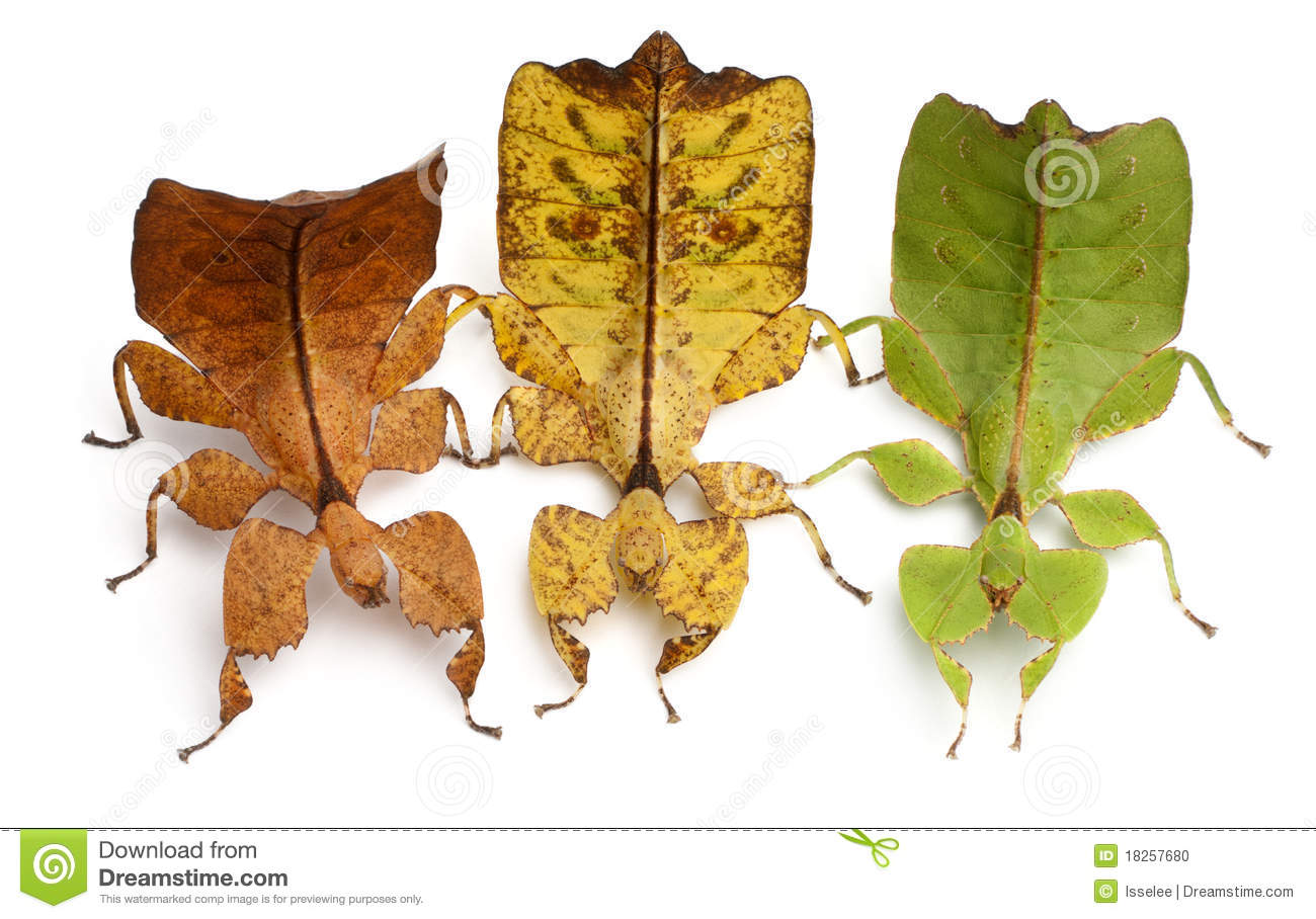 Phyllium Westwoodii, three stick insects