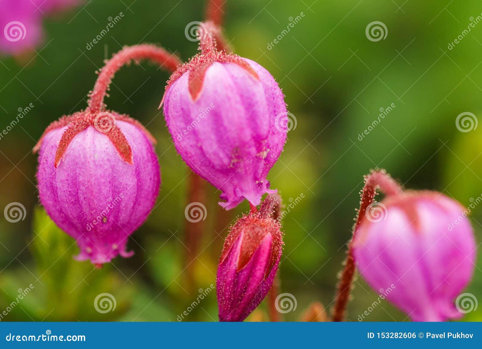 Phyllodoce caerulea - wiecznozielony krzak do 30 cm wysokiego